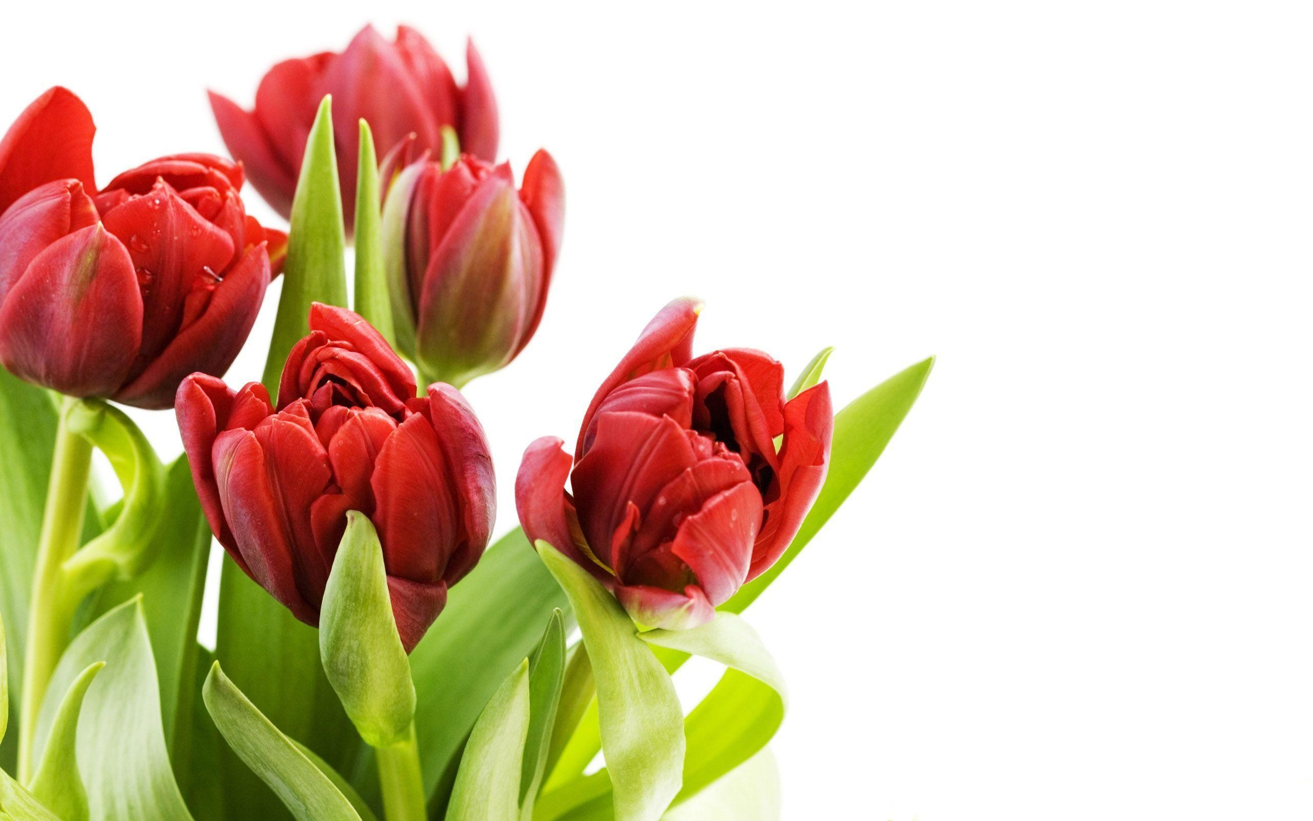 tulip flowers wallpapers ·①
