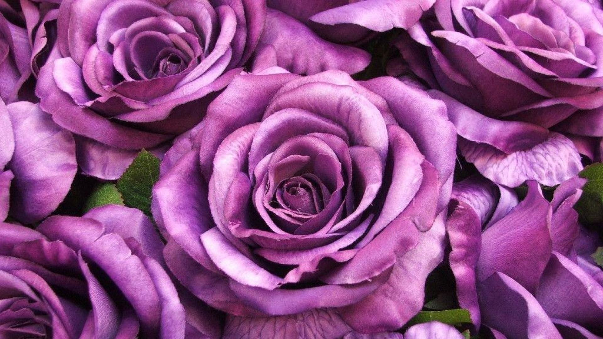 Purple Roses Wallpaper 1