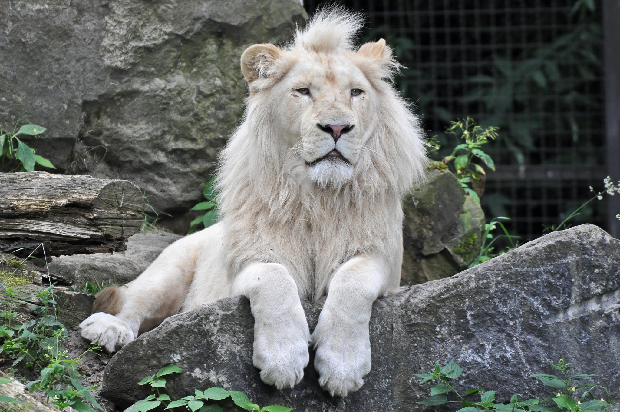 Wallpaper Of White Lion