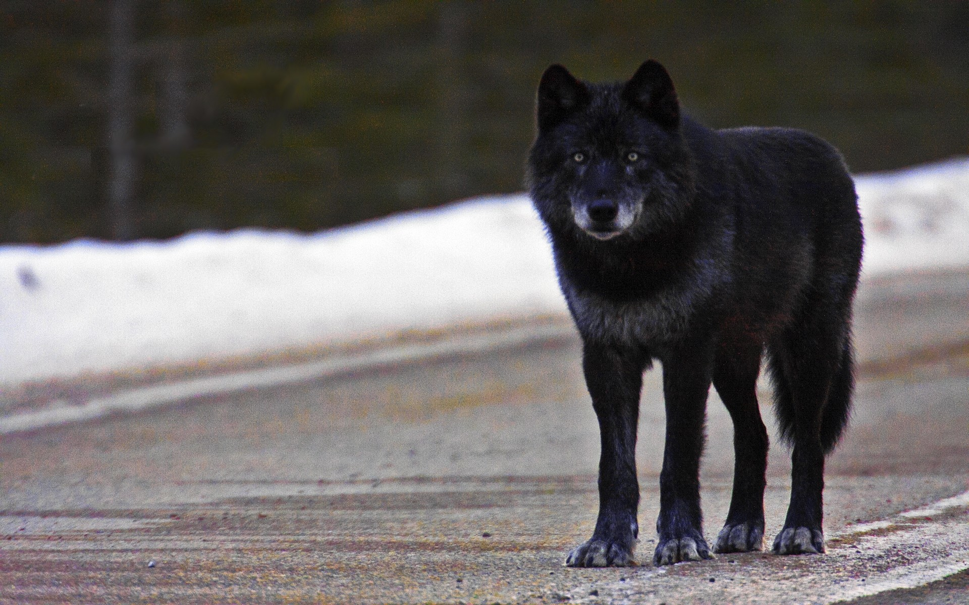 Black Wolf Wallpapers Wallpapertag