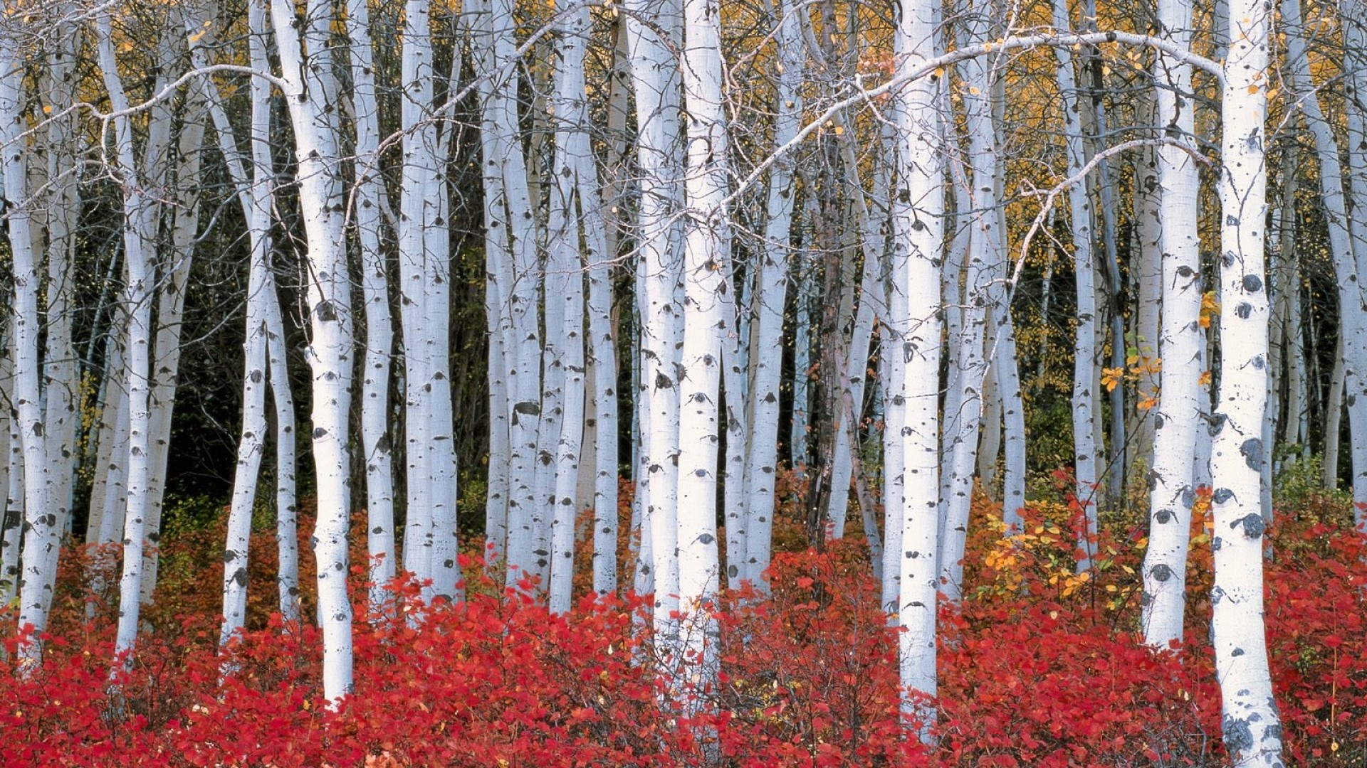 Preferred Birch Tree wallpaper ·① Download free awesome HD backgrounds for  XB63