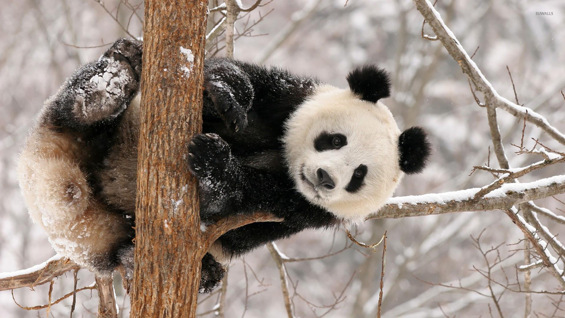 Panda Bear Wallpaper ·① WallpaperTag