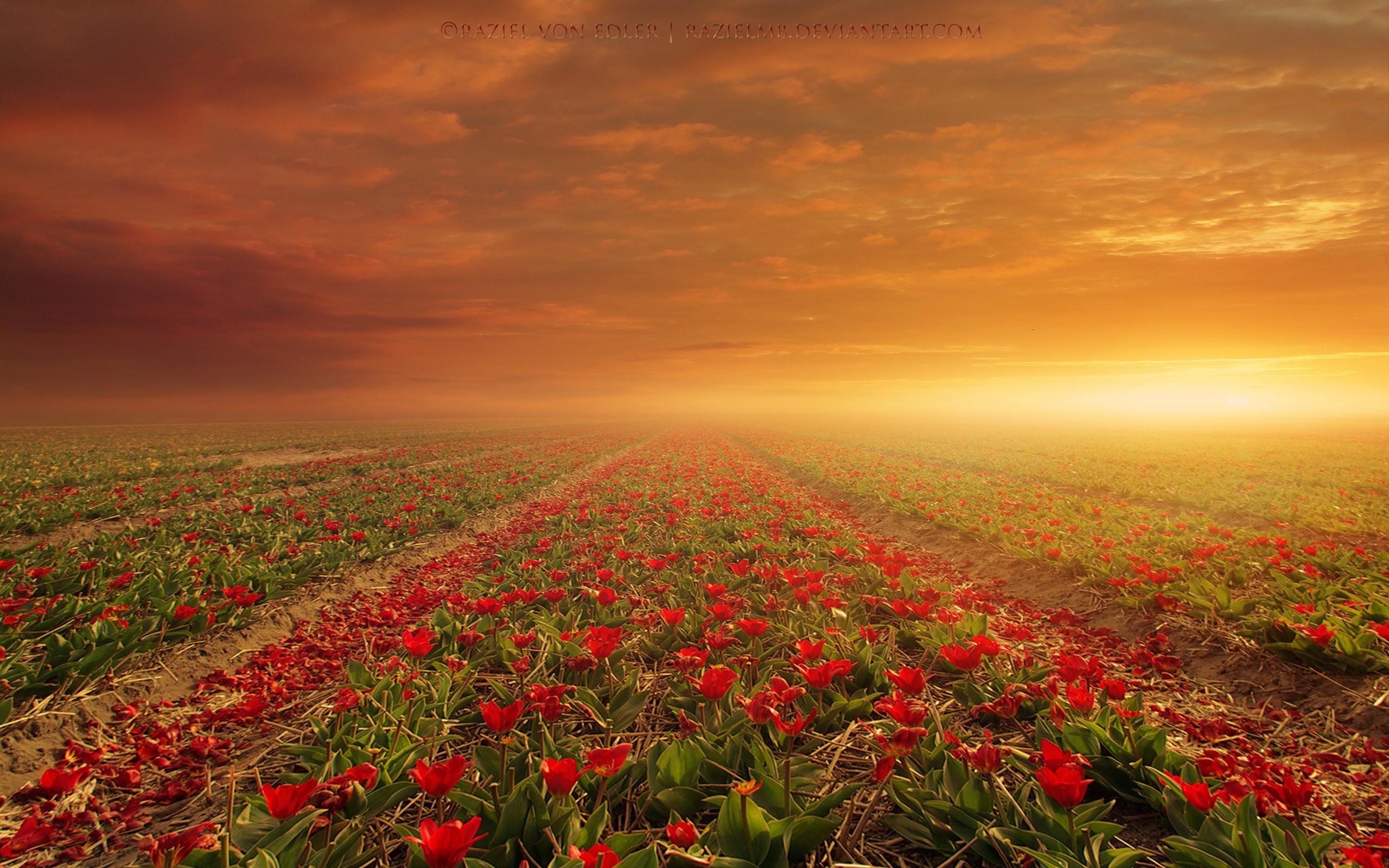 тюльпаны поляна закат  № 3285830 без смс