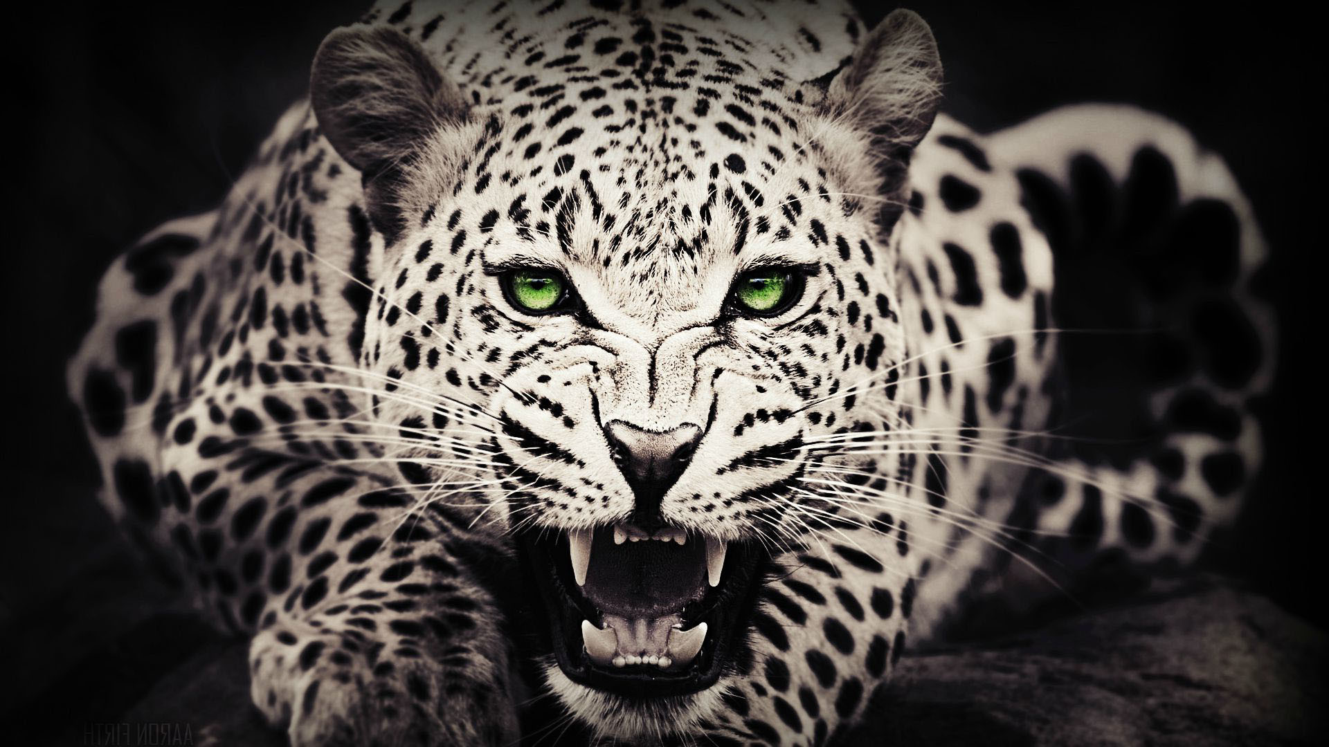 black cheetah wallpaper 183��