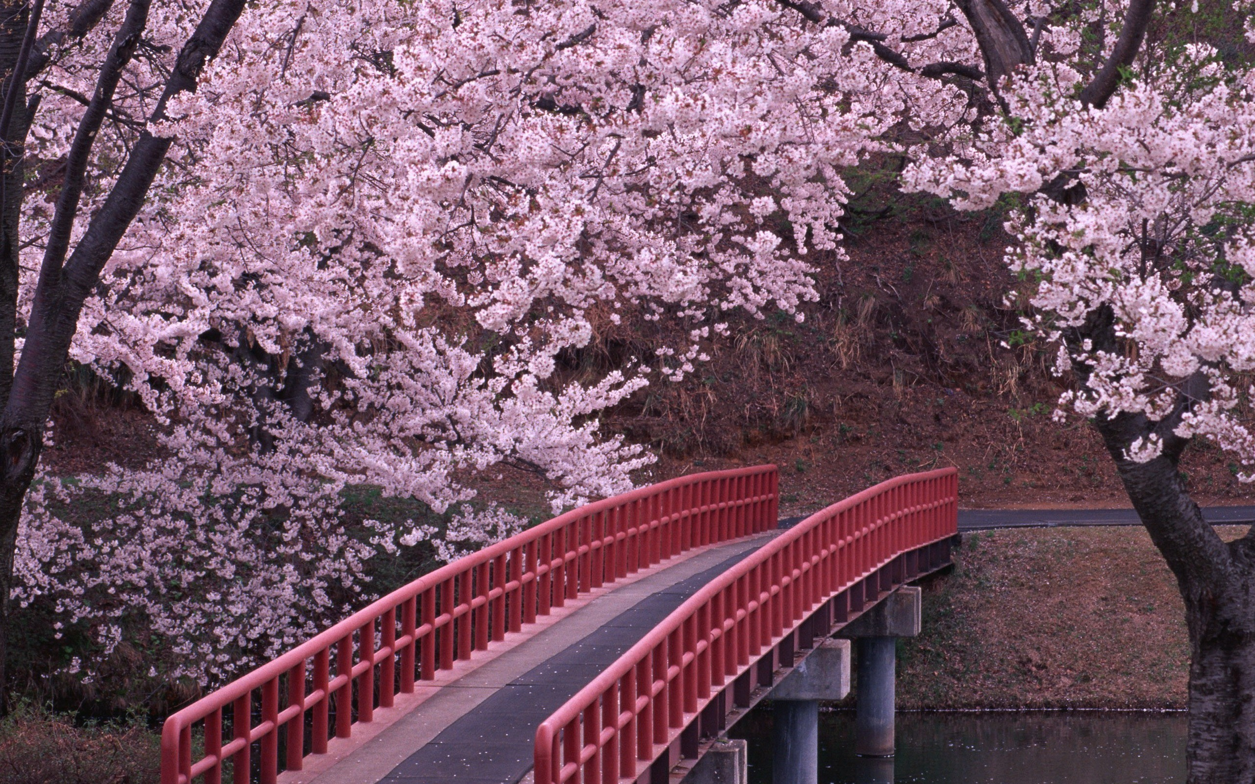 Cherry Blossom Computer Backgrounds Wallpaper