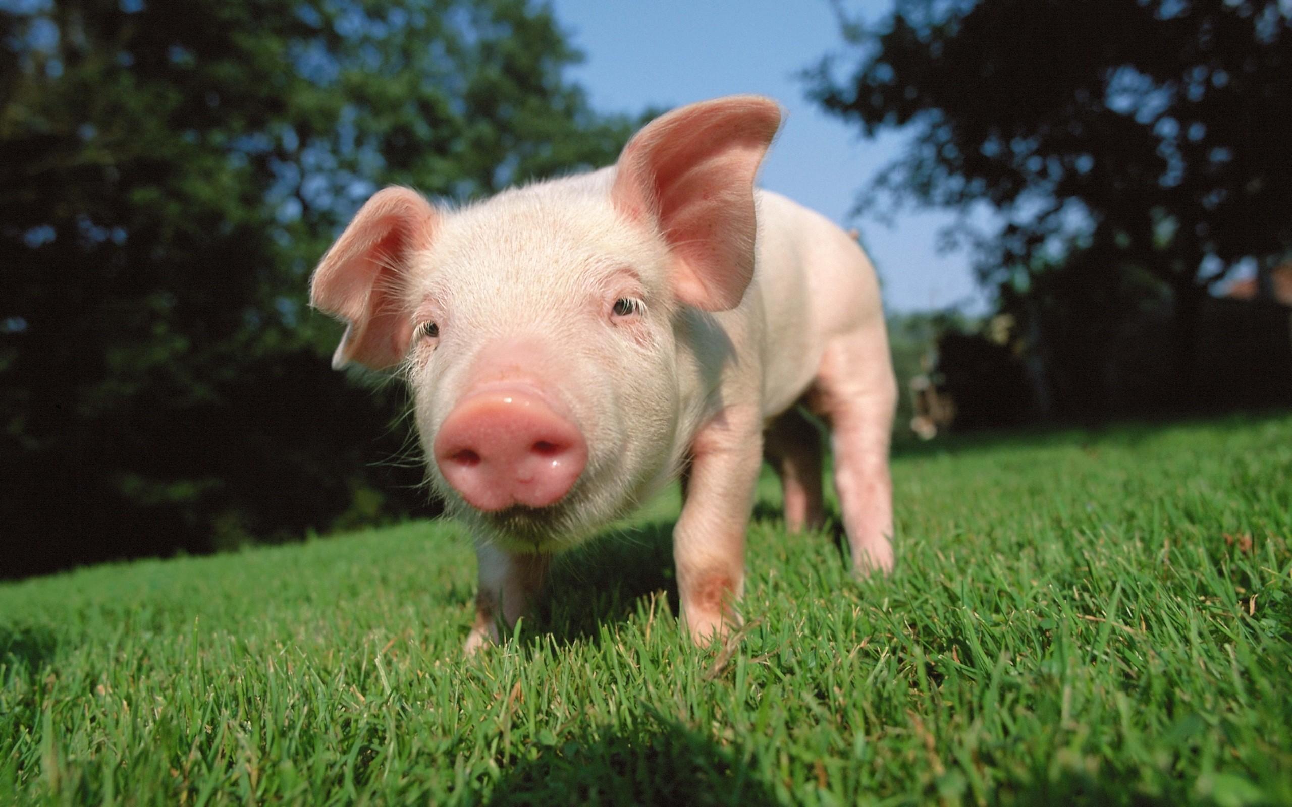 Cute Pig Wallpaper 183 ① Wallpapertag