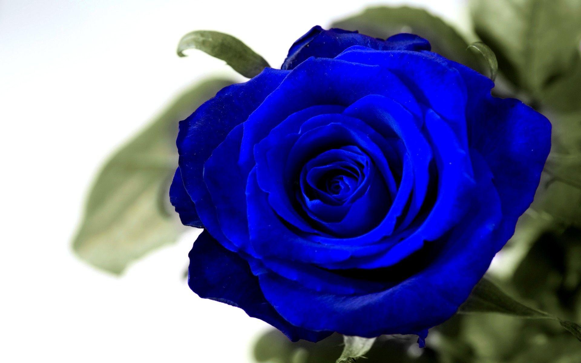 Лебеди пары, картинки розы синие красивые