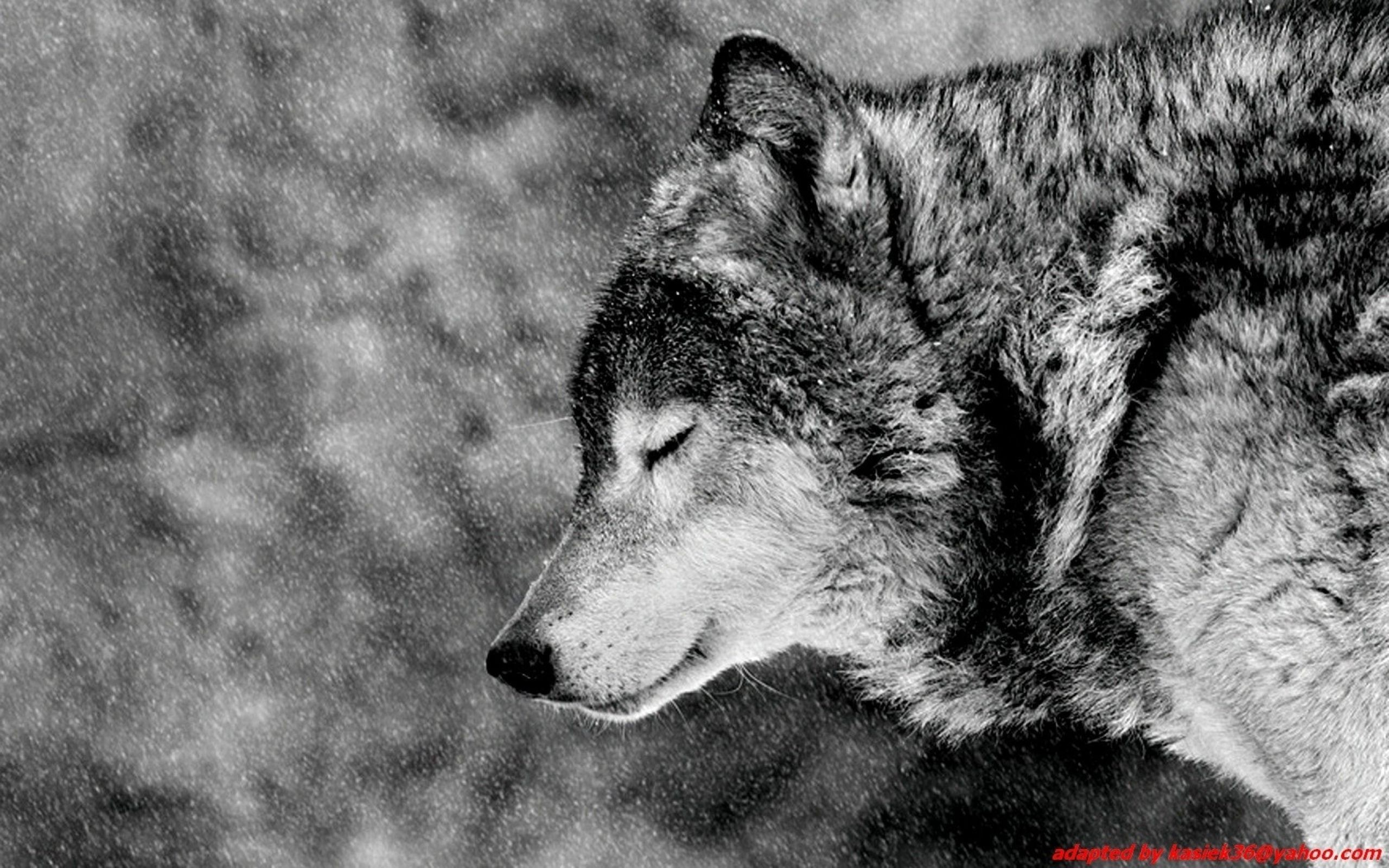 2560x1600 Wolf Computer Wallpapers Desktop Backgrounds Download Animals