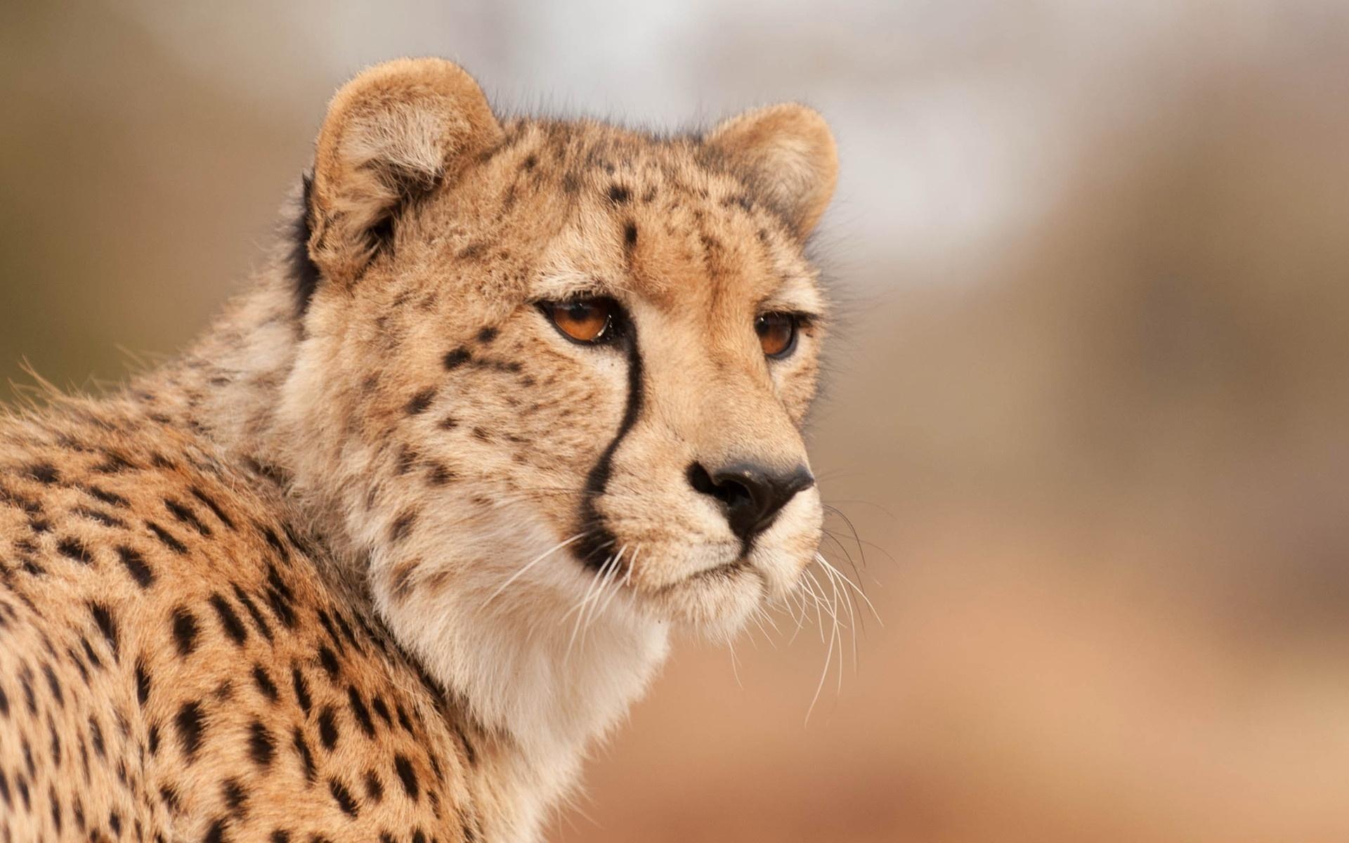 Cool Cheetah Wallpaper Best Cheetah Image And HD 2017