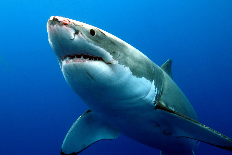 Great White Shark Wallpaper ·①