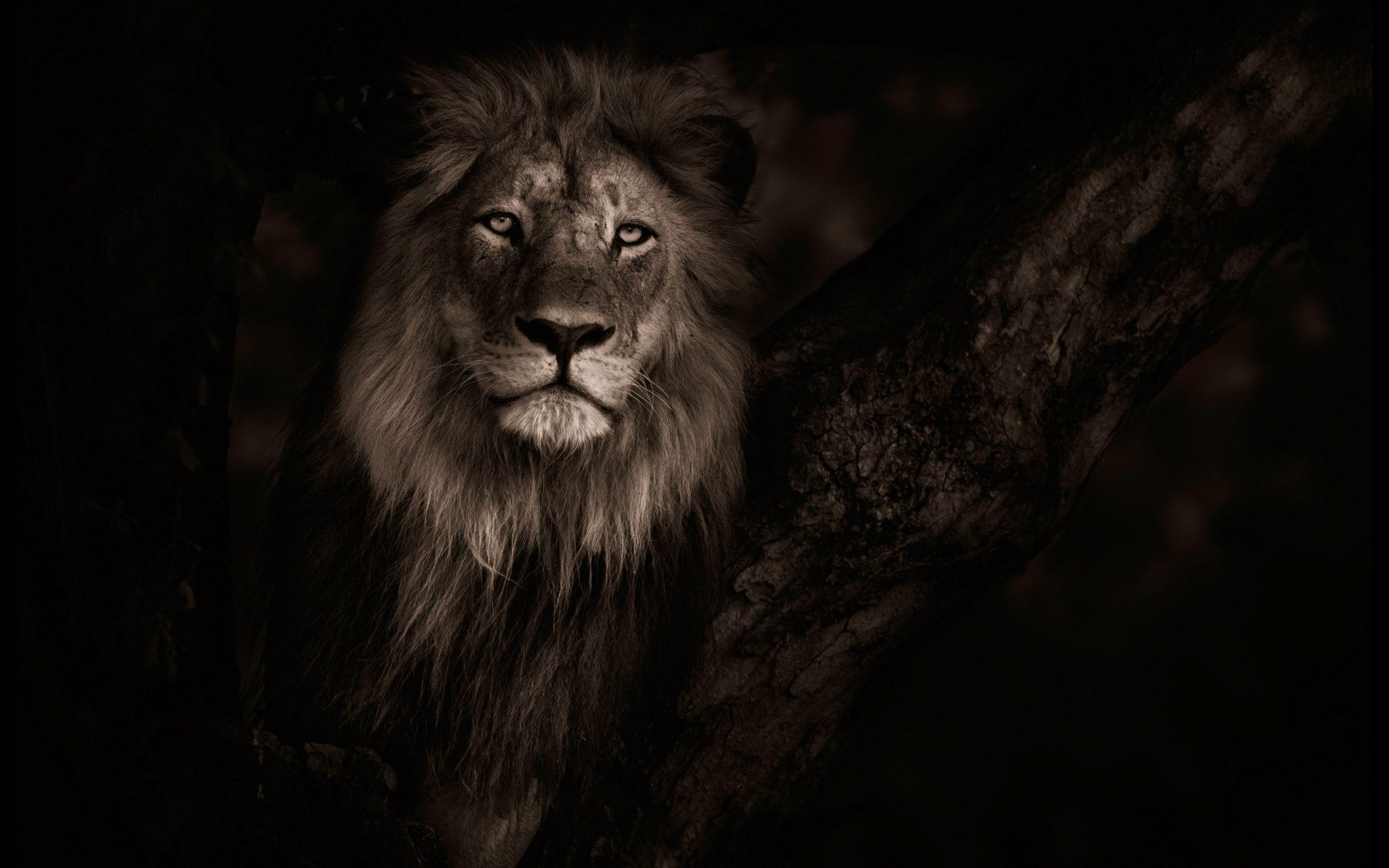 Lion Hd Wallpapers: Lion Background ·① Download Free Full HD Backgrounds For
