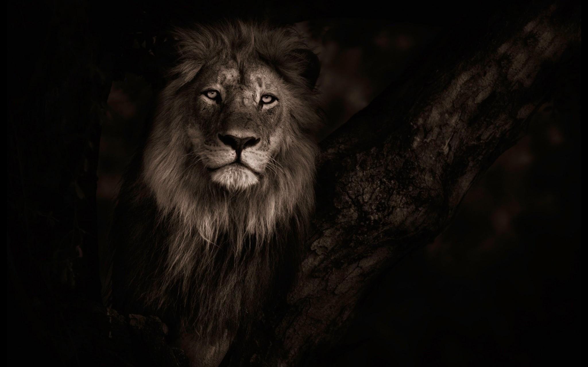 lion background ·① download free full hd backgrounds for desktop