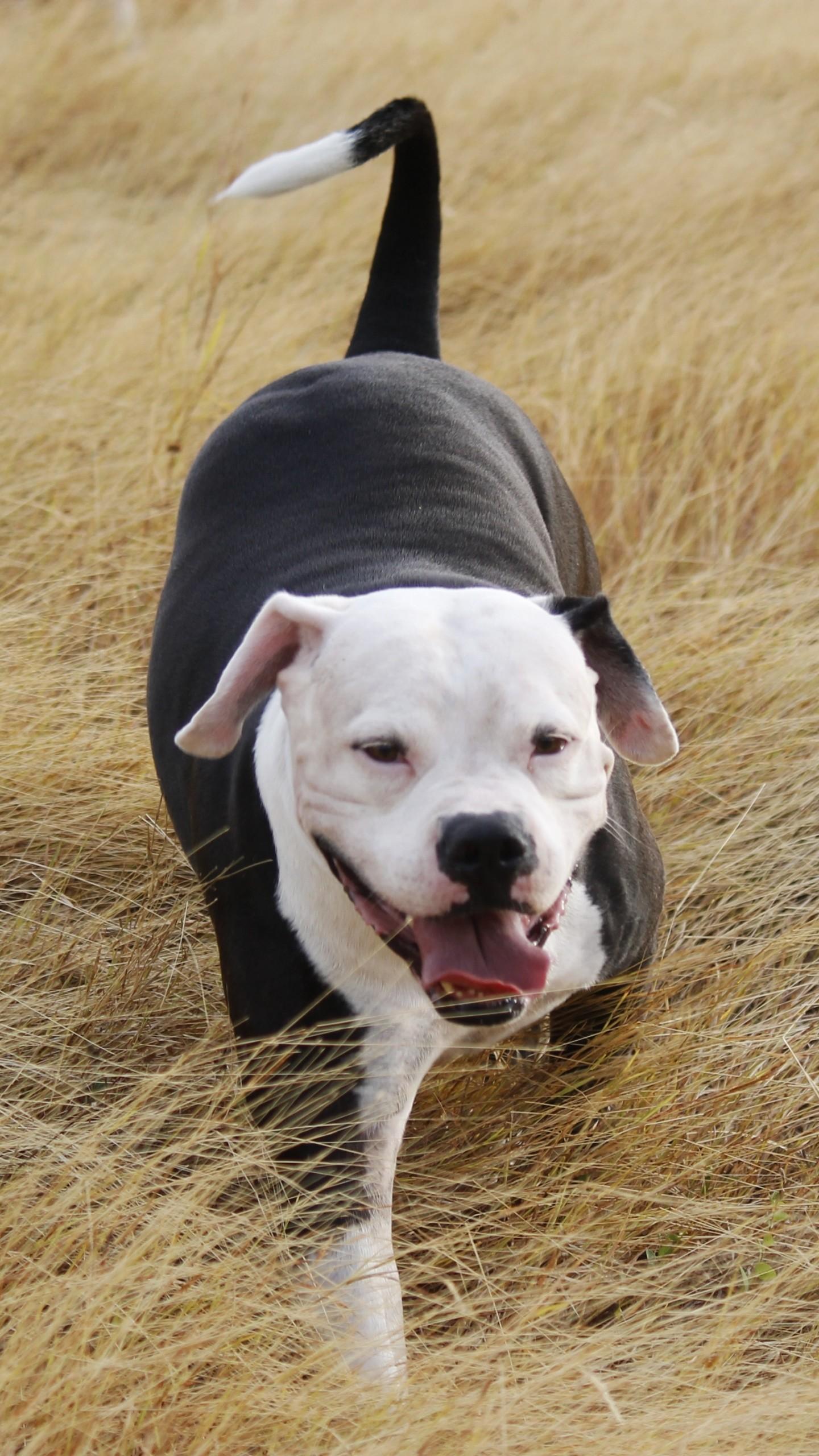 Pitbull Dog Wallpaper 183 ① Wallpapertag