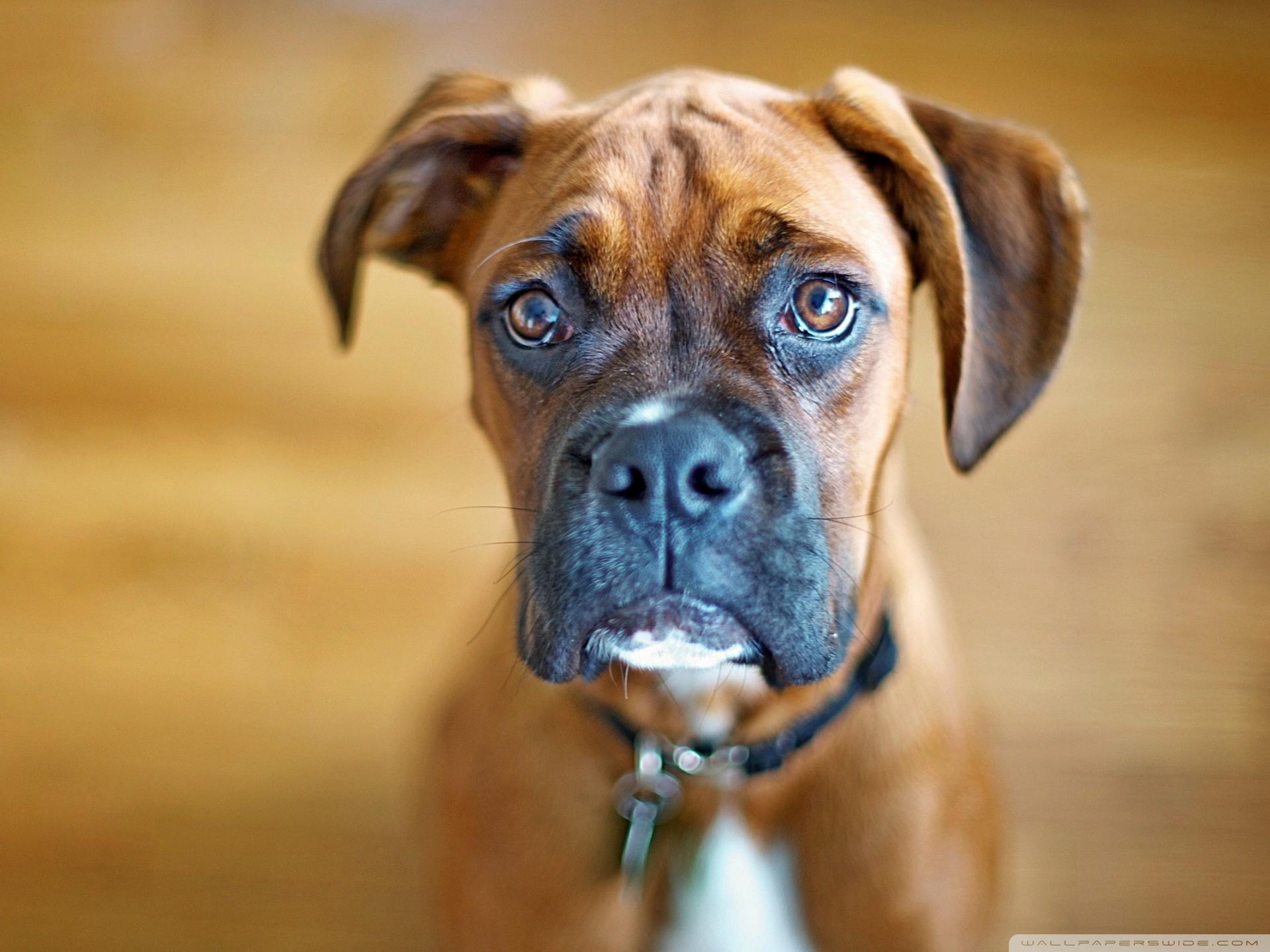 Boxer Dog Wallpaper Wallpapertag