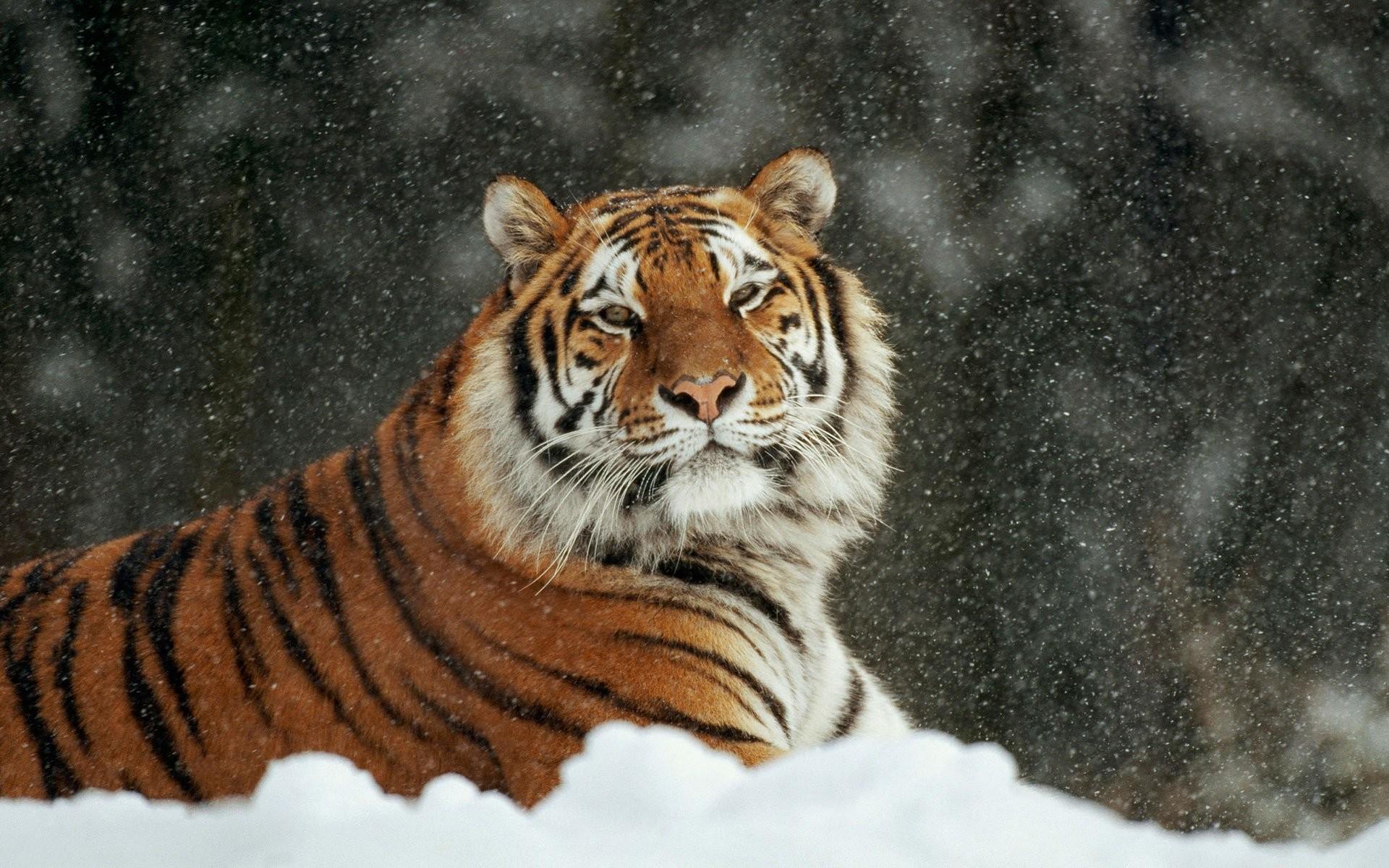 baby white tiger wallpaper ·①