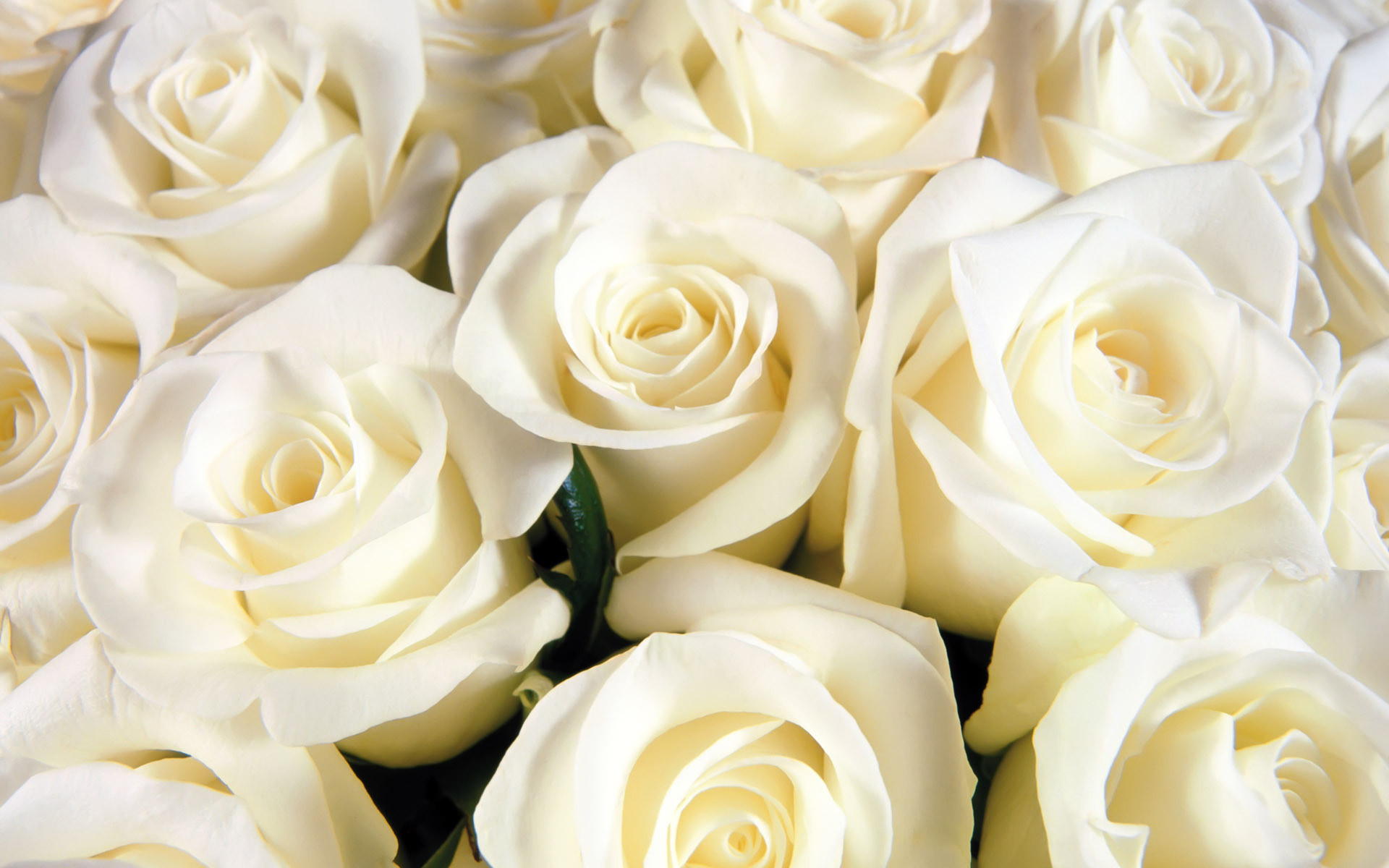 White Rose Flowers Wallpapers: White Roses Background ·① WallpaperTag