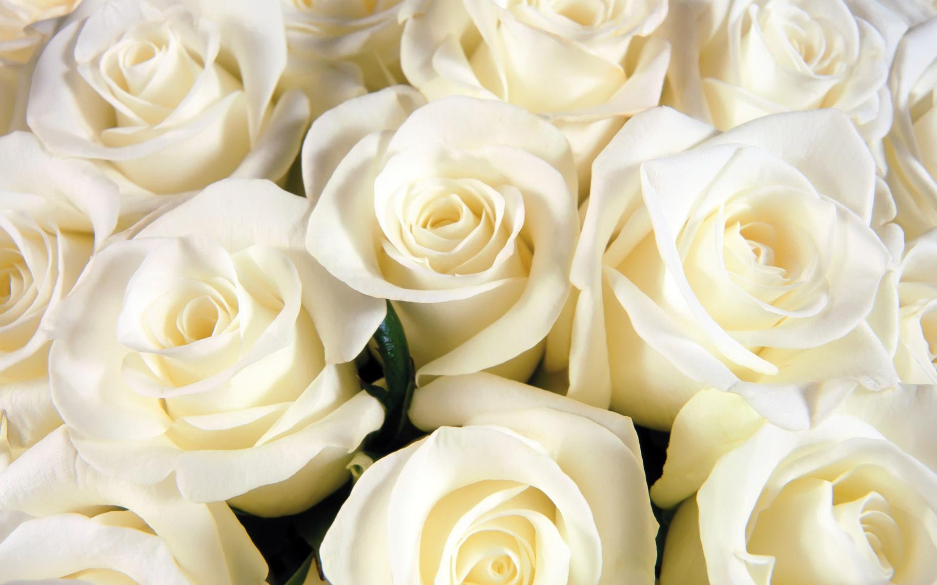 White Roses Background ·① WallpaperTag
