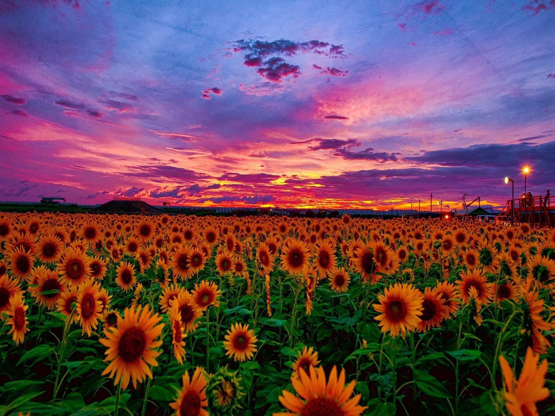 sunflower desktop wallpaper  u00b7 u2460 wallpapertag
