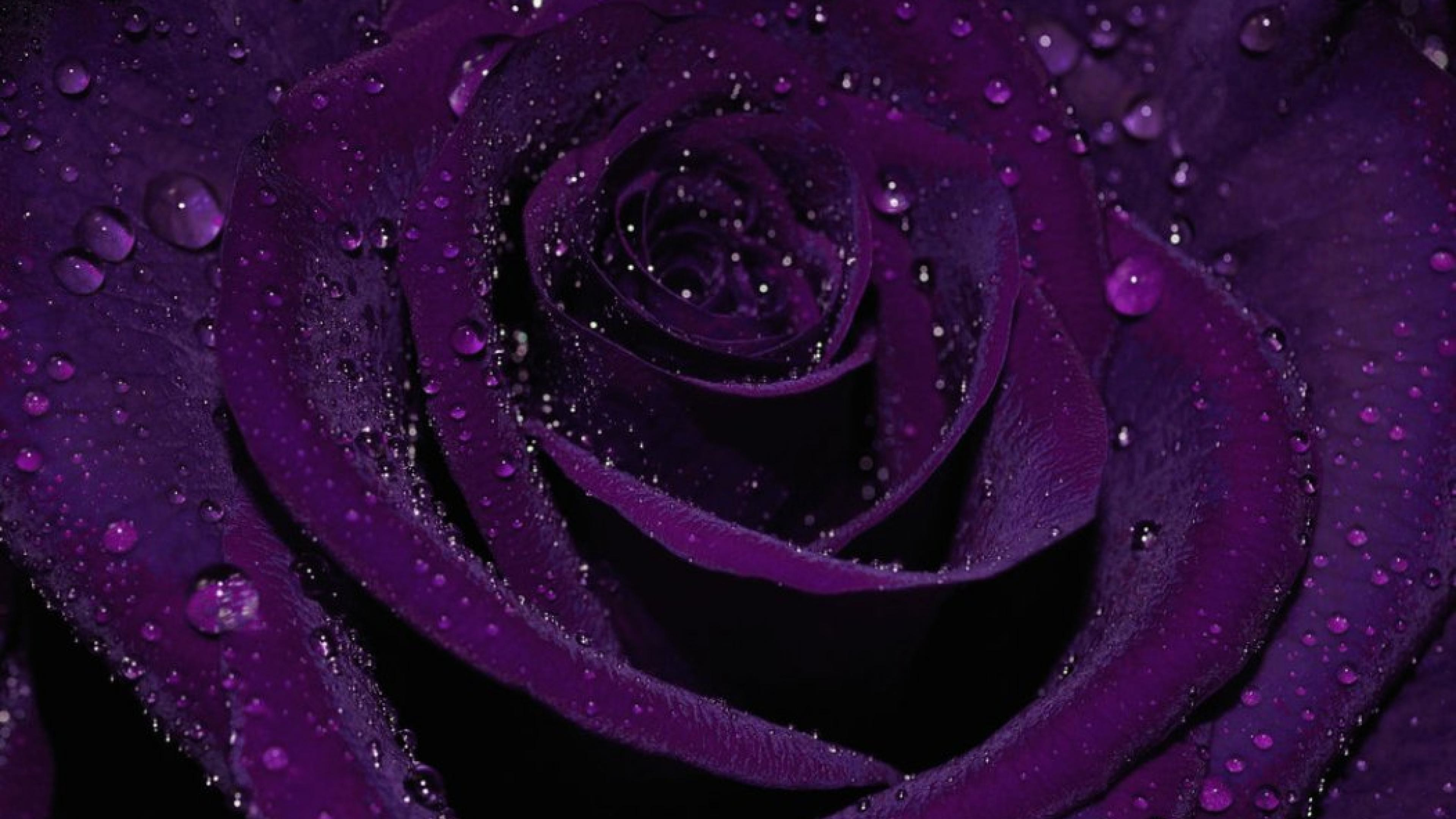 Purple Roses Wallpaper ·① WallpaperTag
