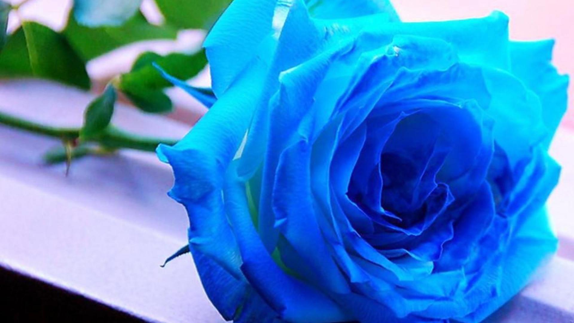 Blue Roses Wallpaper Wallpapertag