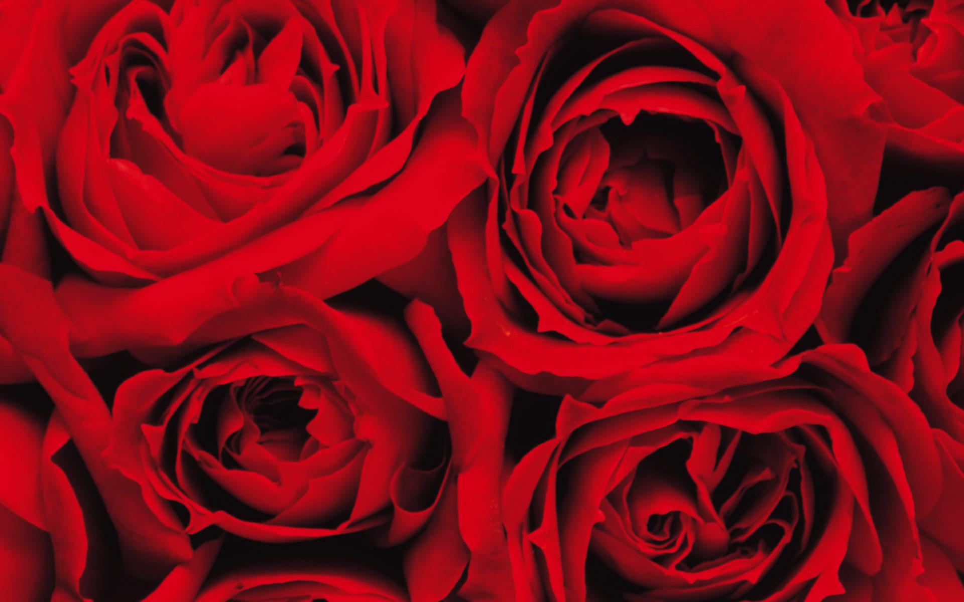 Pink Rose Background ·① WallpaperTag