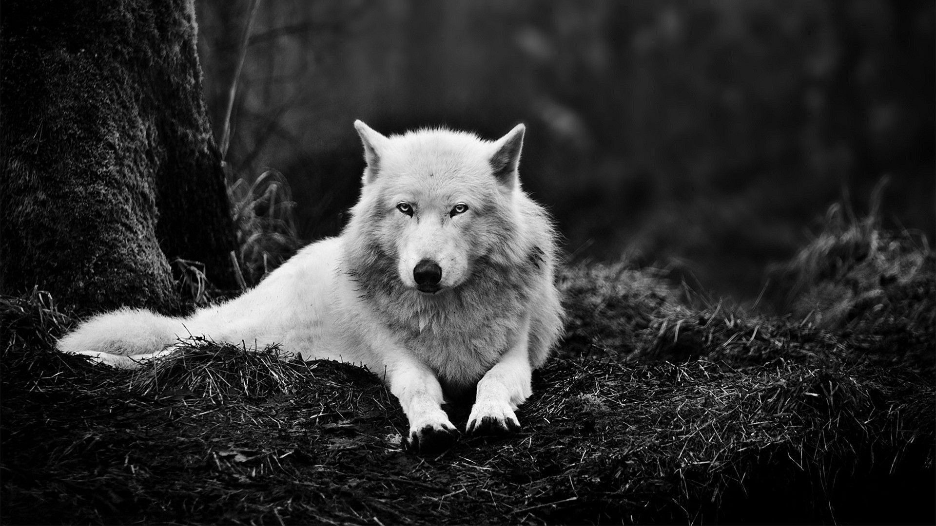 wolf wallpaper hd ·① download free amazing full hd backgrounds for