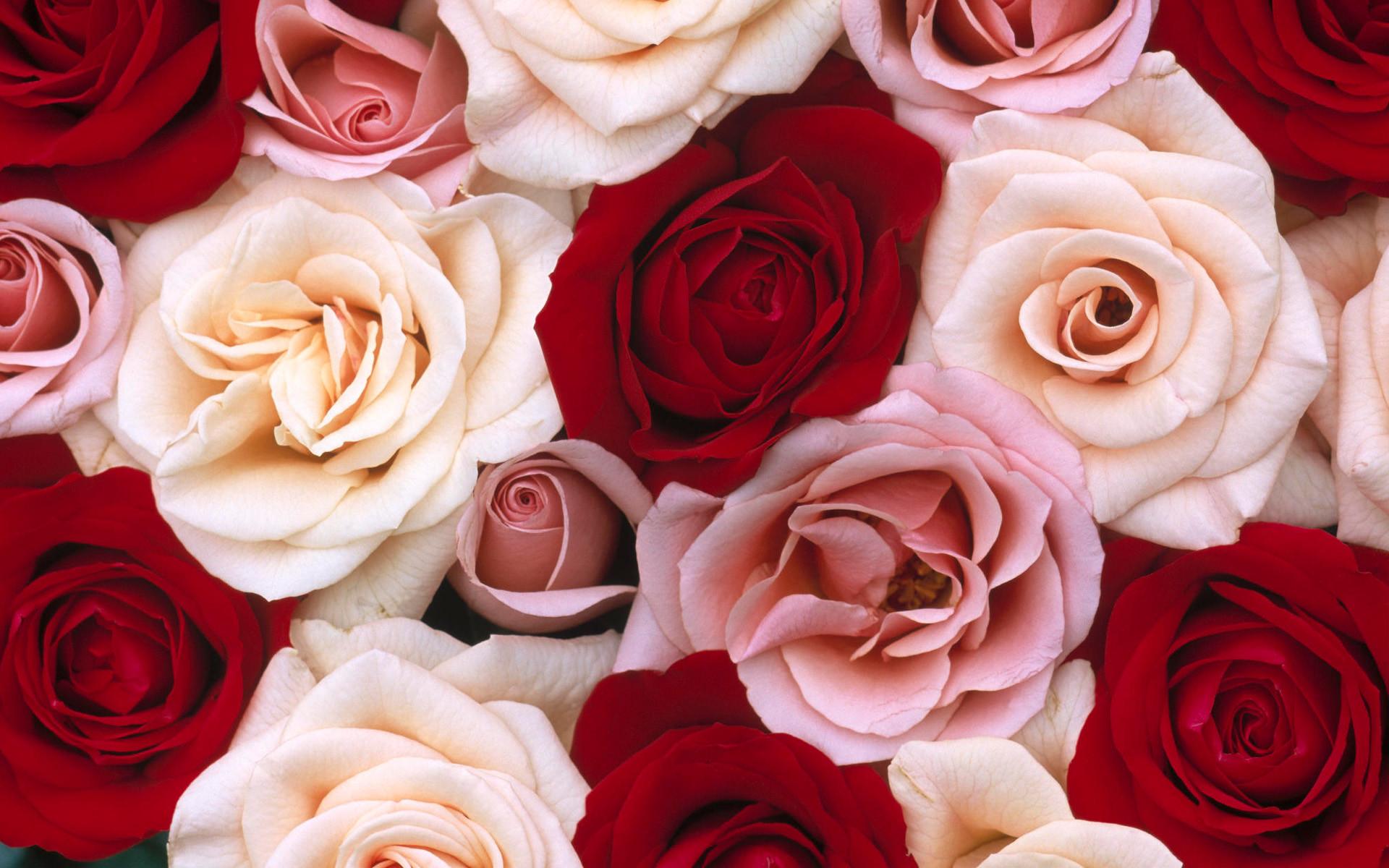 Roses Desktop Background