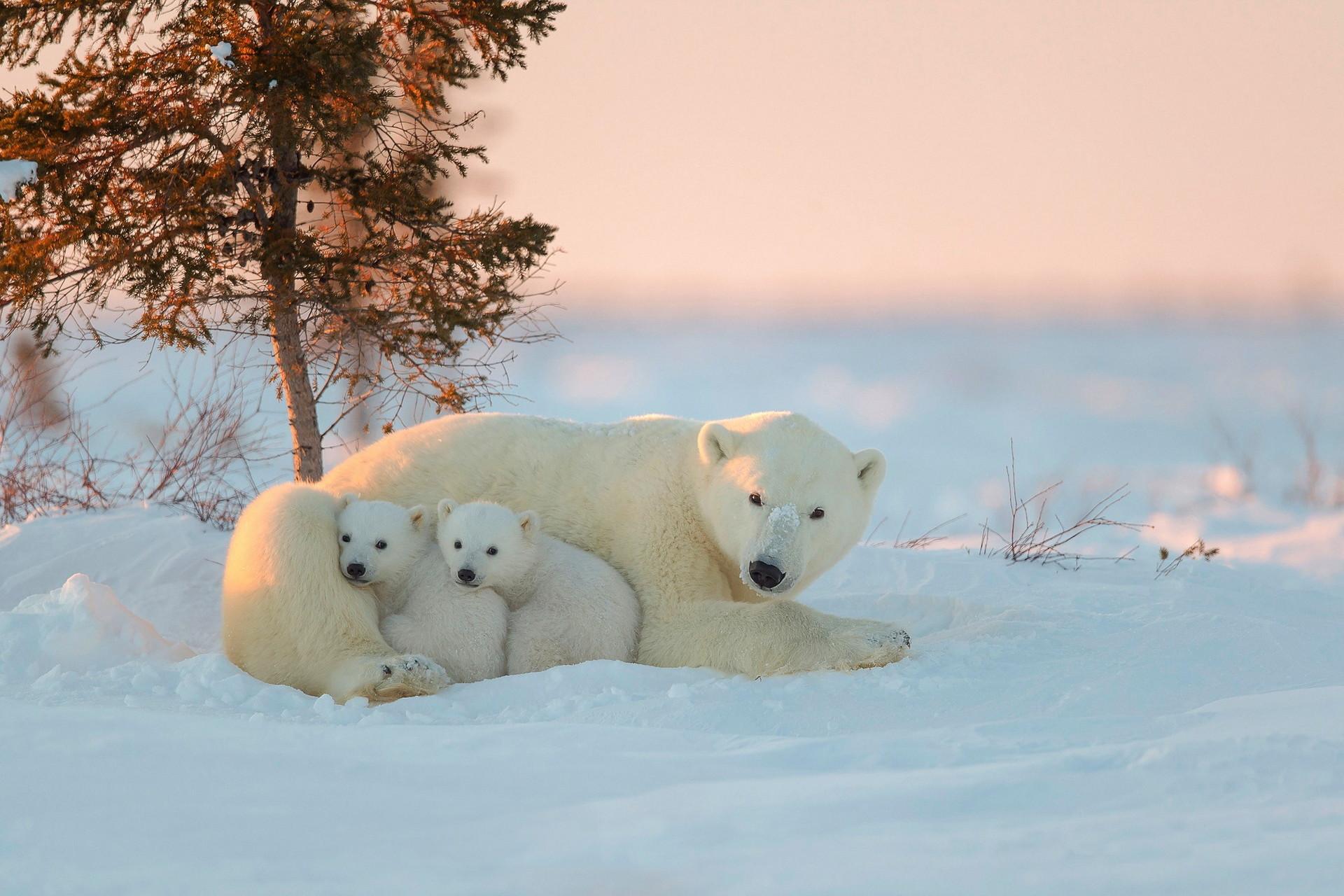baby polar bear wallpaper wallpapertag. Black Bedroom Furniture Sets. Home Design Ideas
