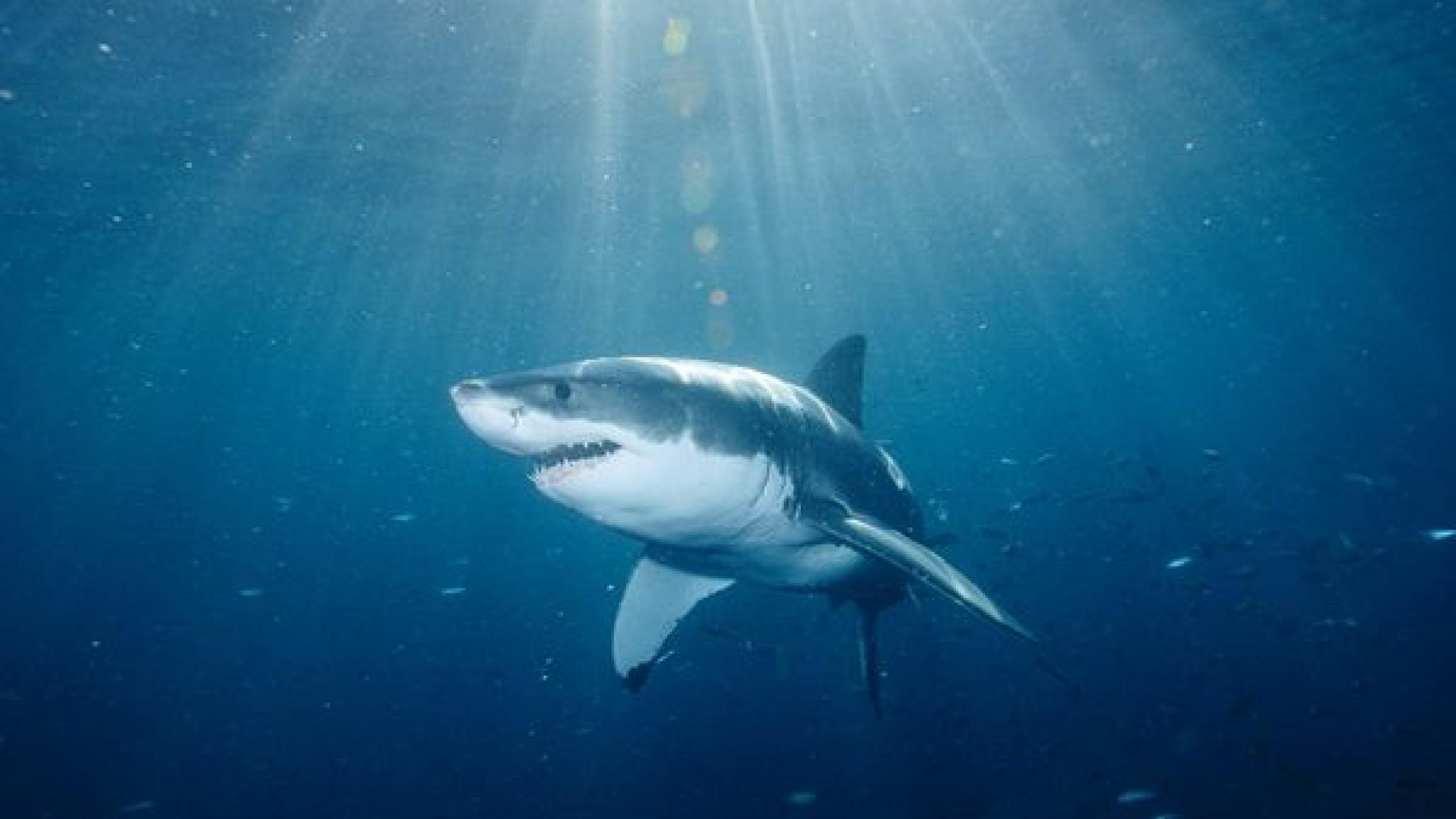 Great White Shark Wallpaper HD ·① WallpaperTag