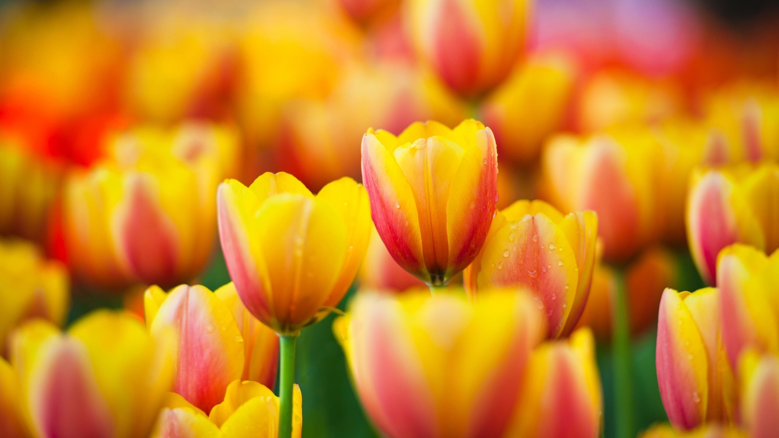 Tulip Wallpapers ·① WallpaperTag