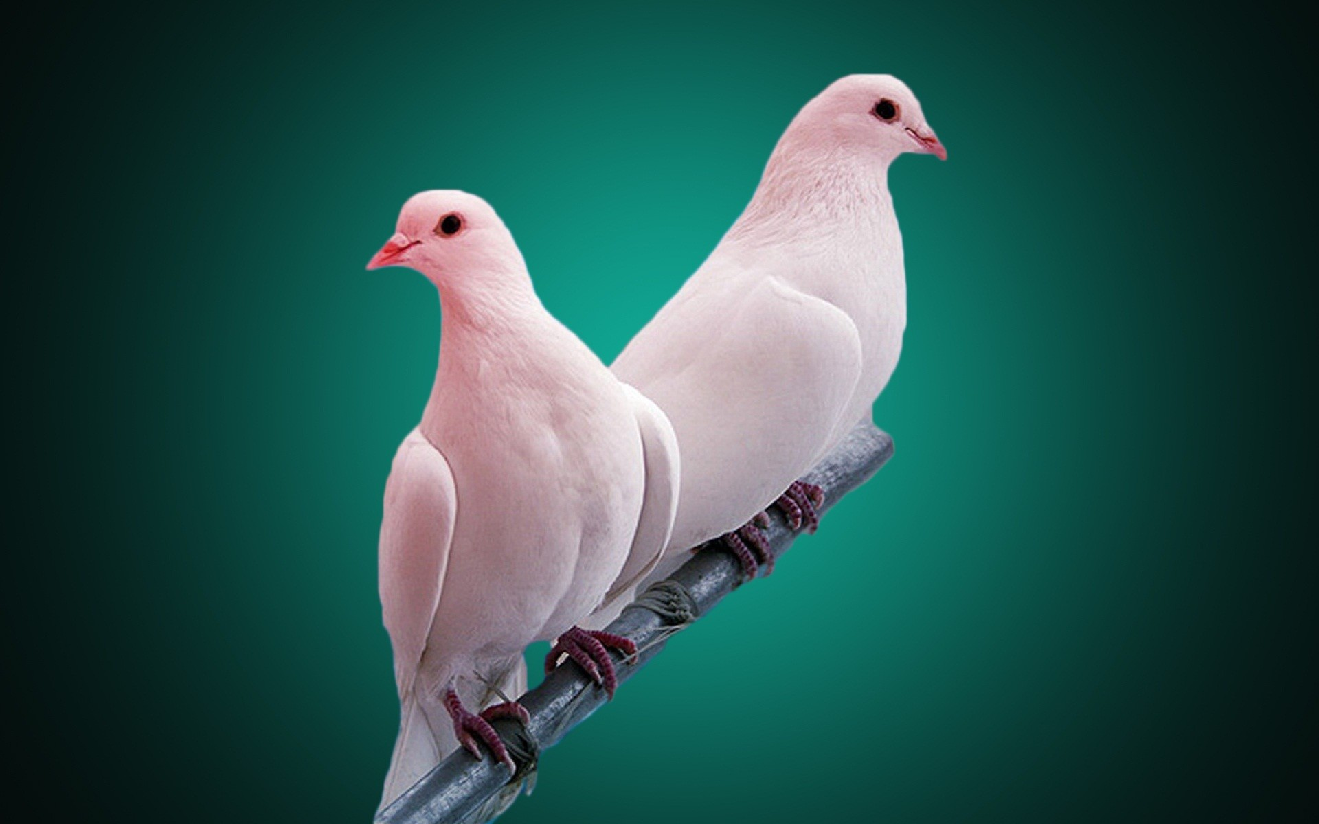 Great Wallpaper Love Parrot - 778679-most-popular-lovebird-wallpaper-1920x1200-large-resolution  Pictures_597049.jpg