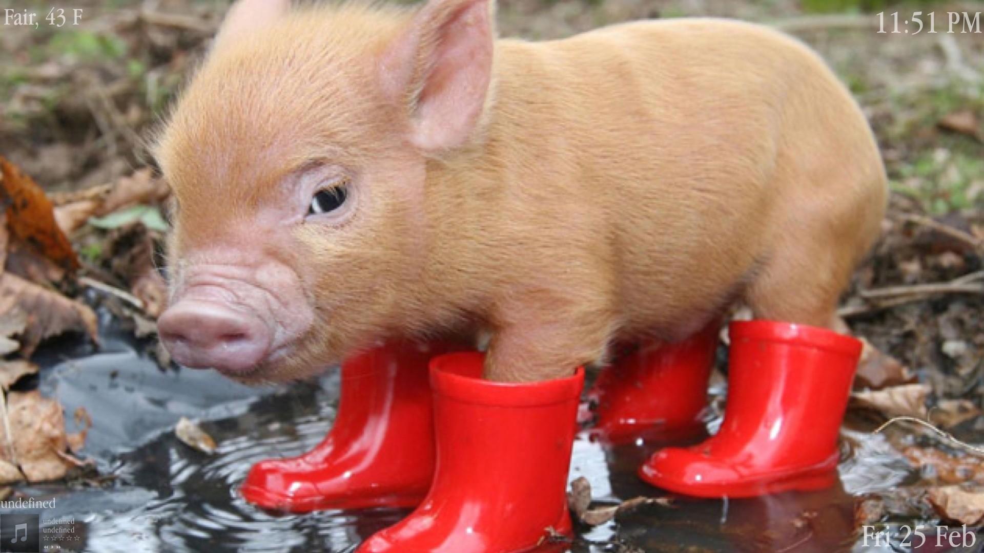 Cute Pig Wallpaper ·①