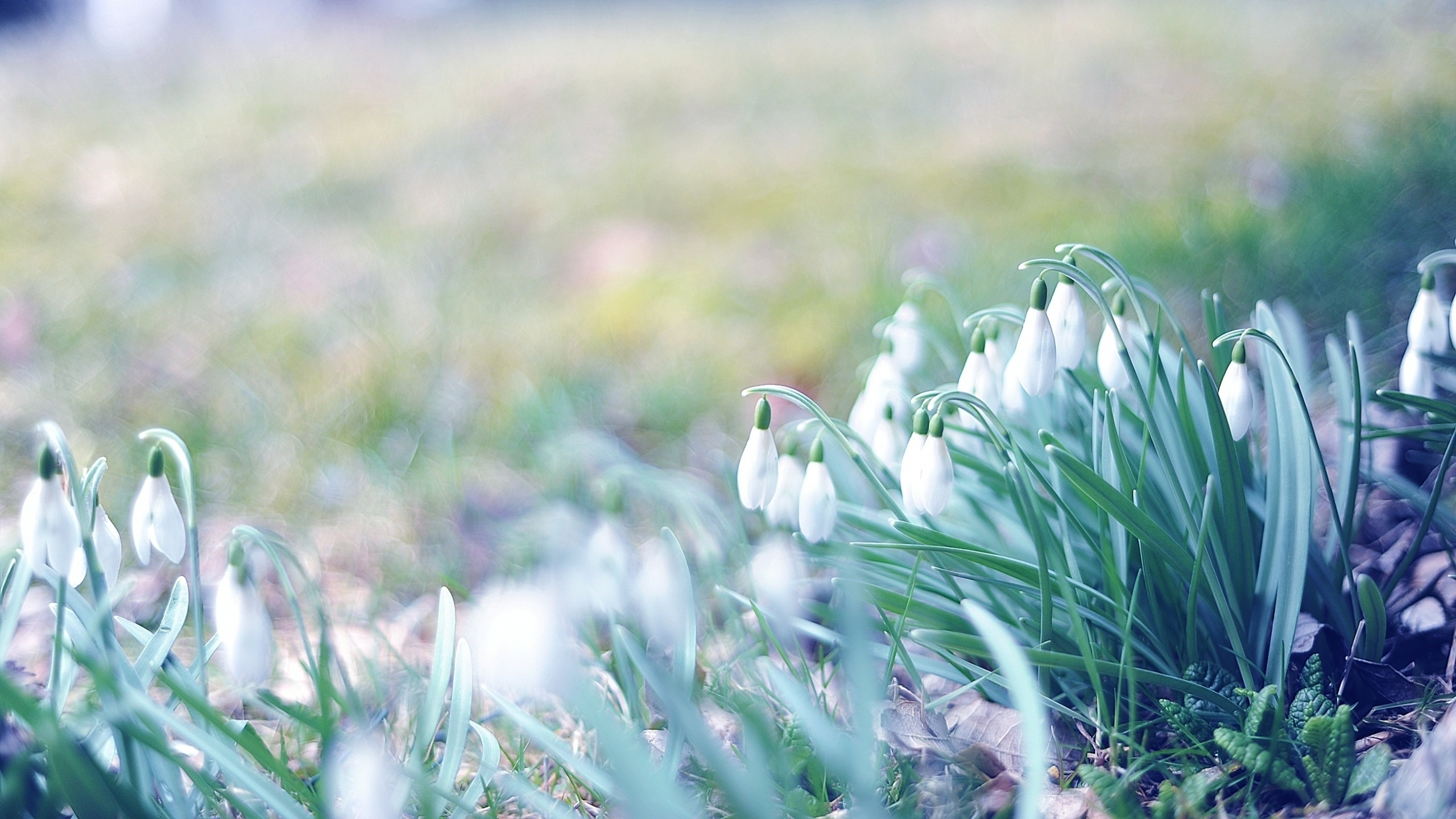 2560x1440 Preview Wallpaper Spring Snowdrops Grass Light March