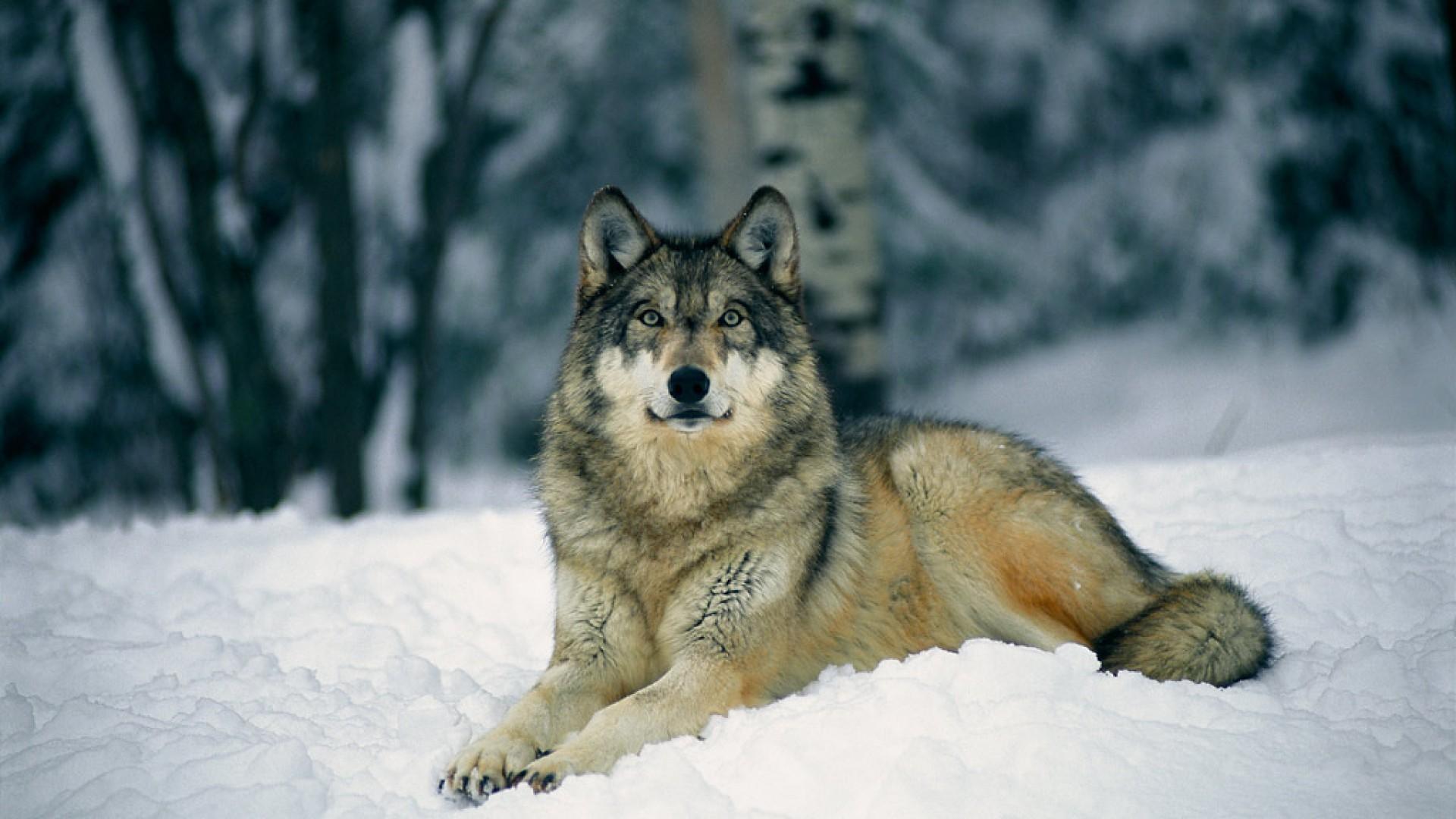 Wolf wallpaper HD ·① Download free amazing full HD ...