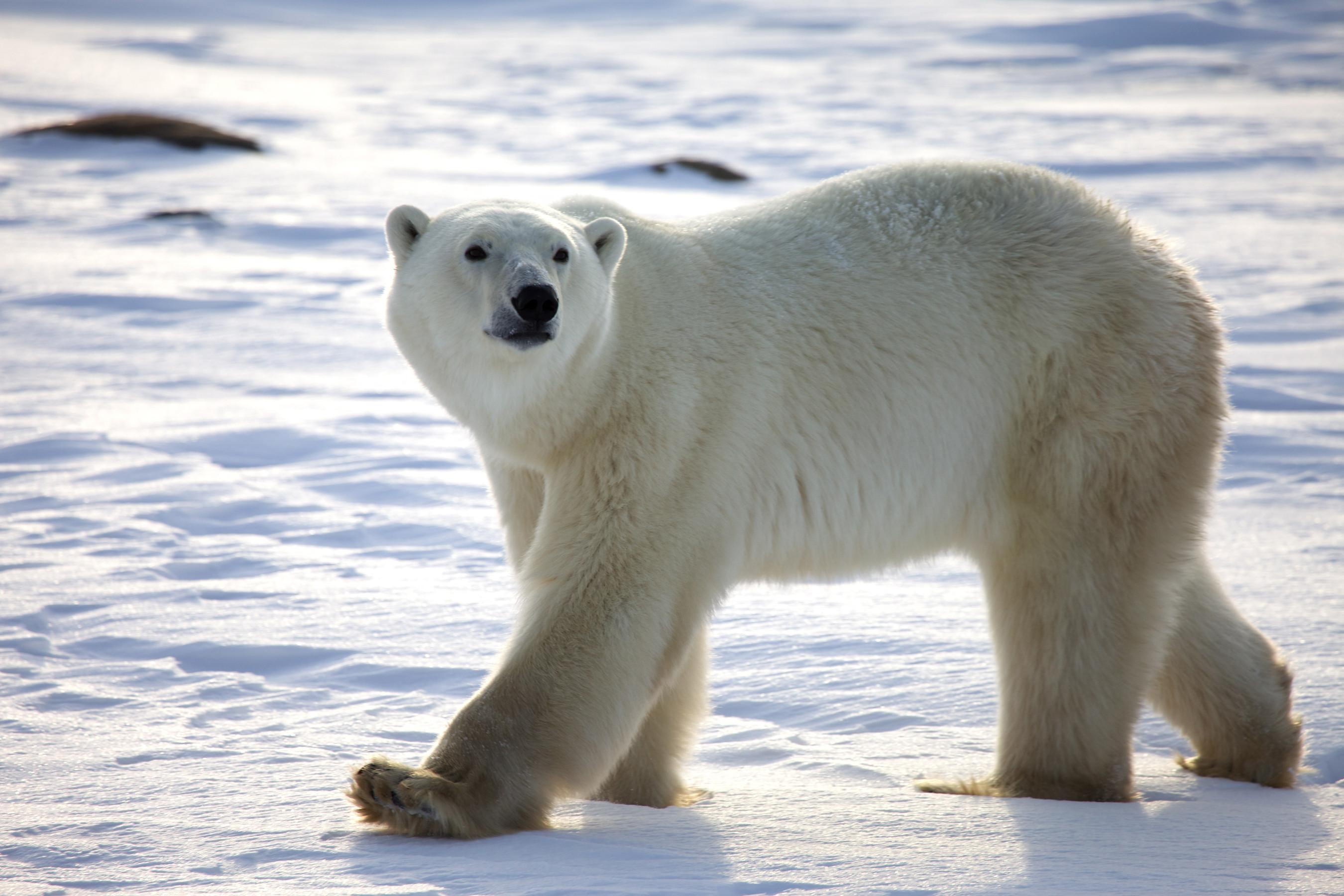 Картинки с полярными медведями
