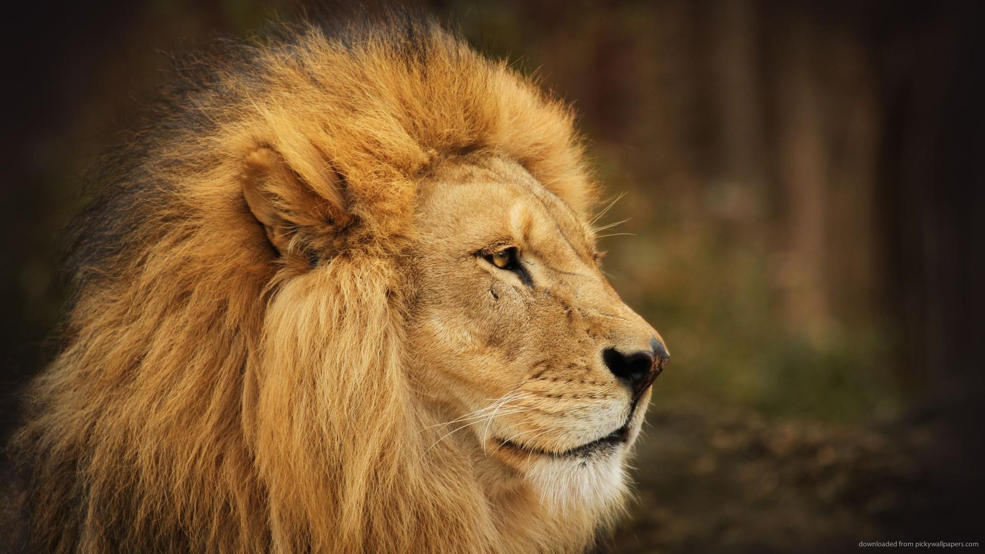 Male Lion Faces Wallpaper ·①