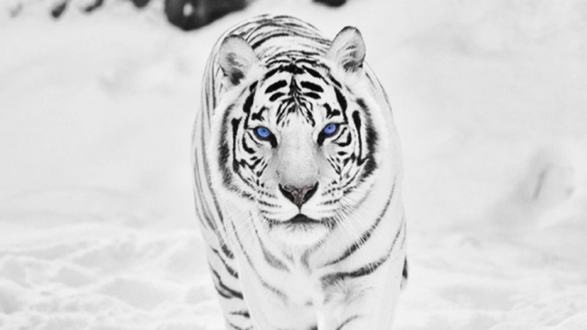 White Tiger Wallpaper Download Free Cool High Resolution