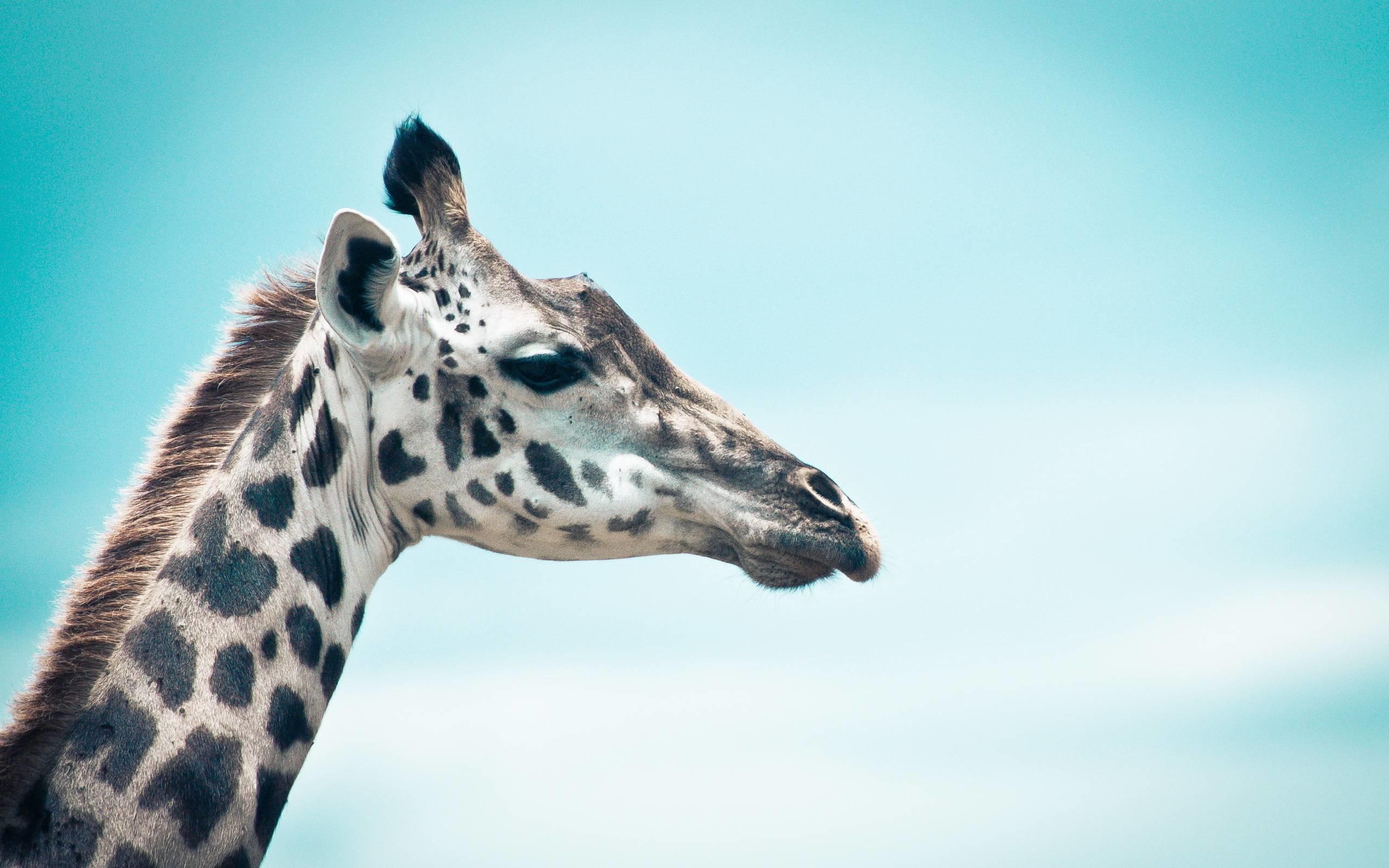 Giraffe Screensaver Impre Media