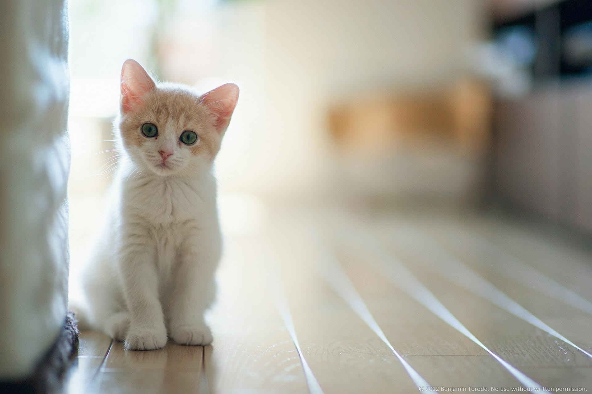 1920x1280 White Cat Hd Wallpapers Free Download