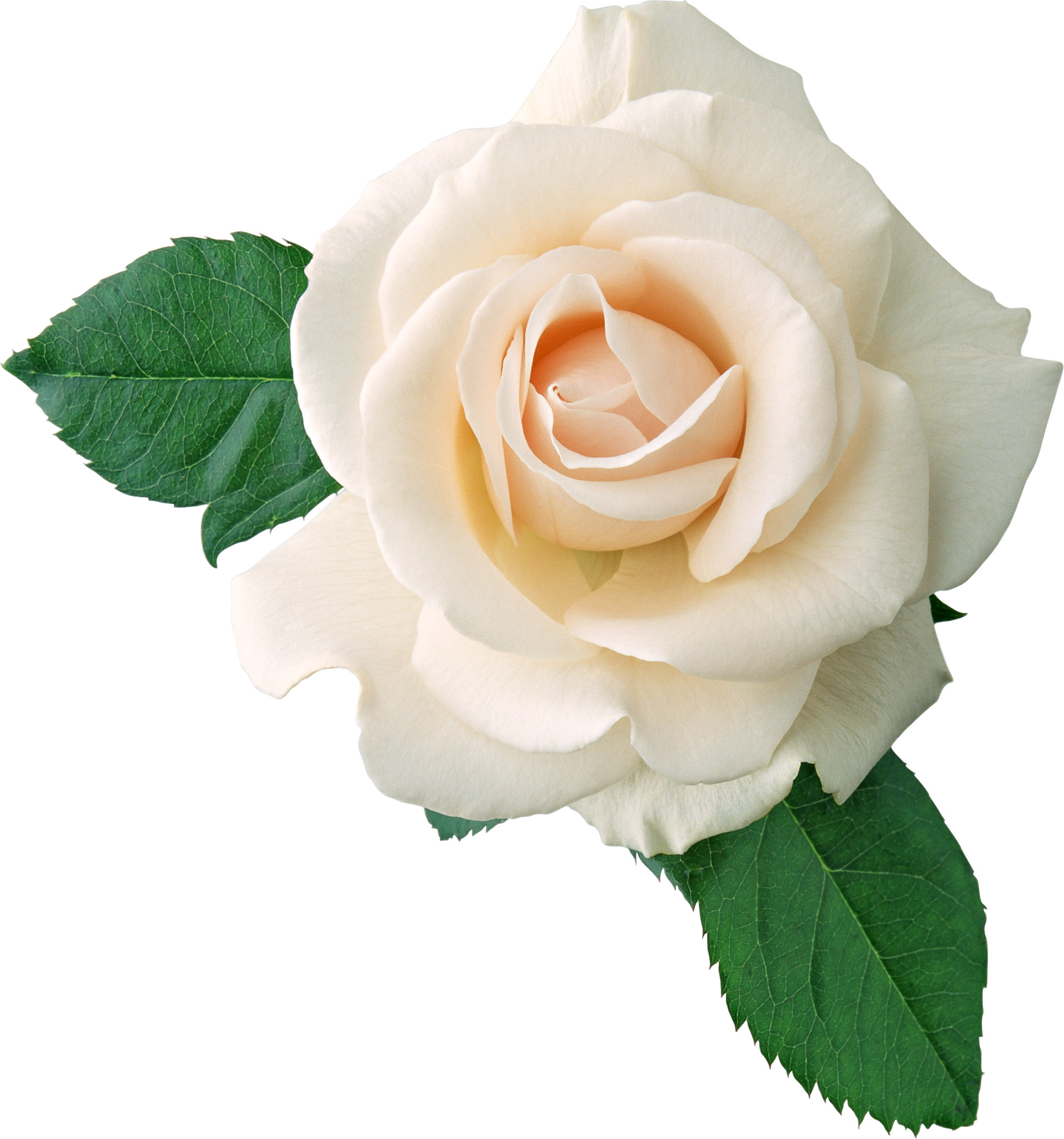 Rose Flower - Varieties and Types of Roses - TheFlowerExpert