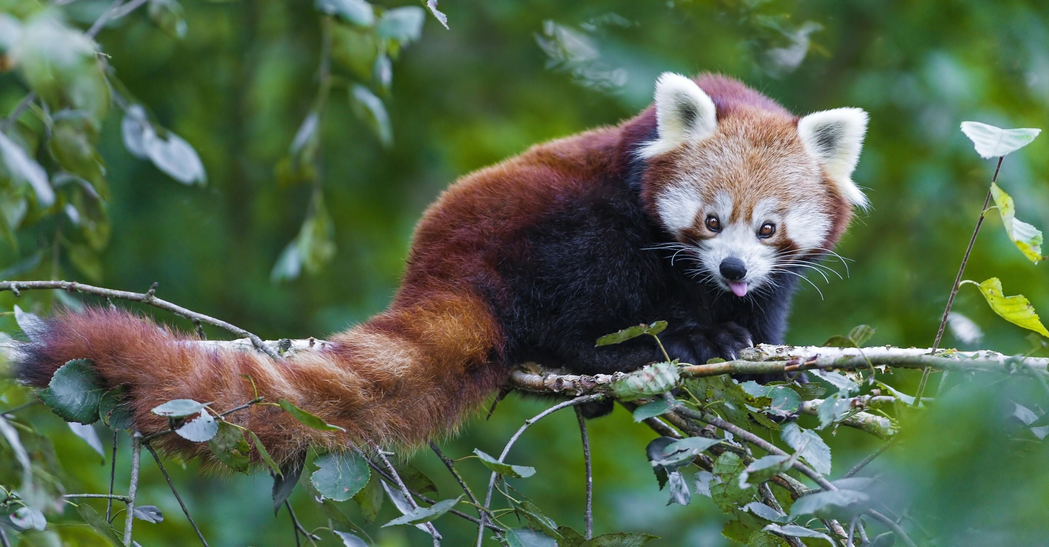 Red Panda  № 1564096  скачать