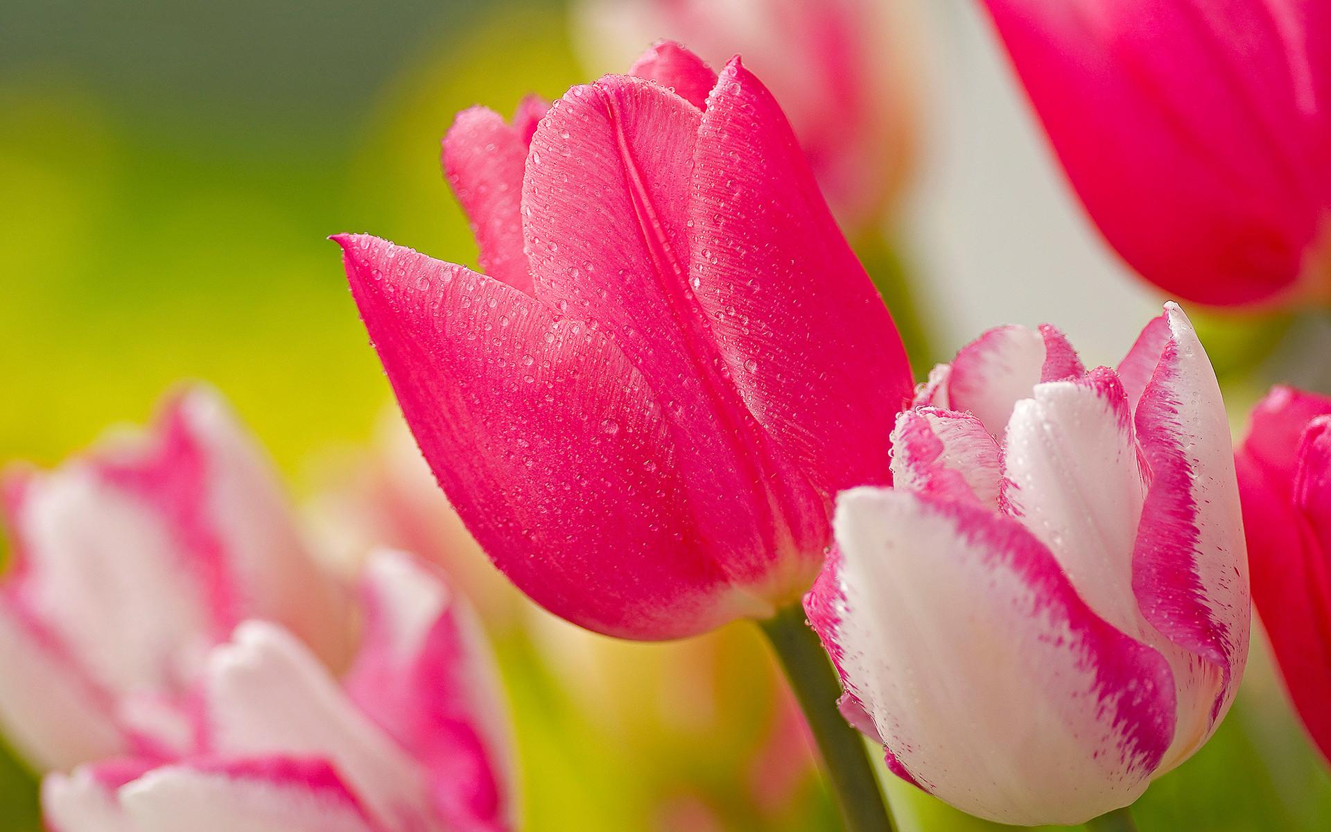 Tulip Flowers Wallpapers ·① WallpaperTag