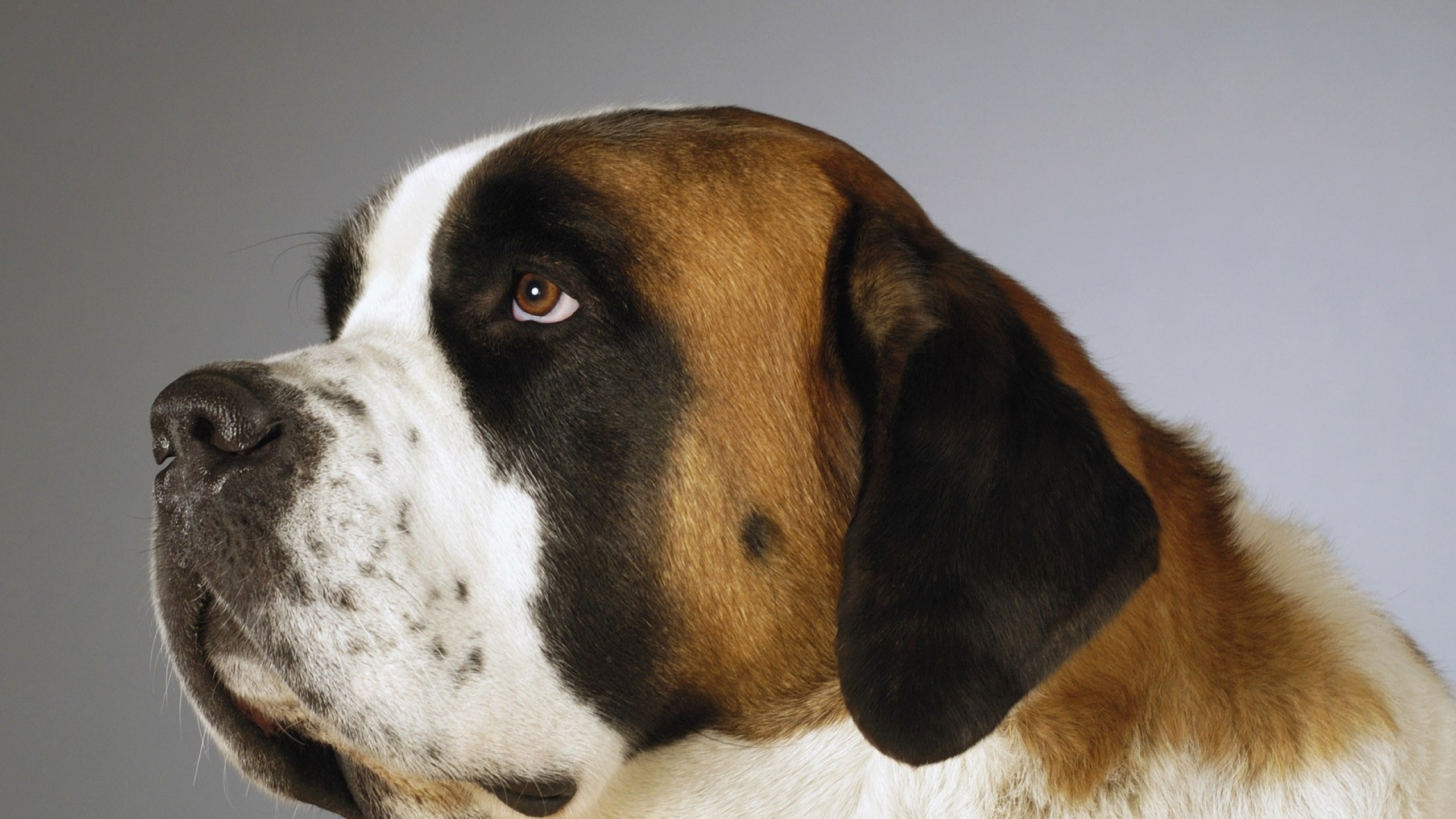 St Bernard Wallpapers ·① WallpaperTag