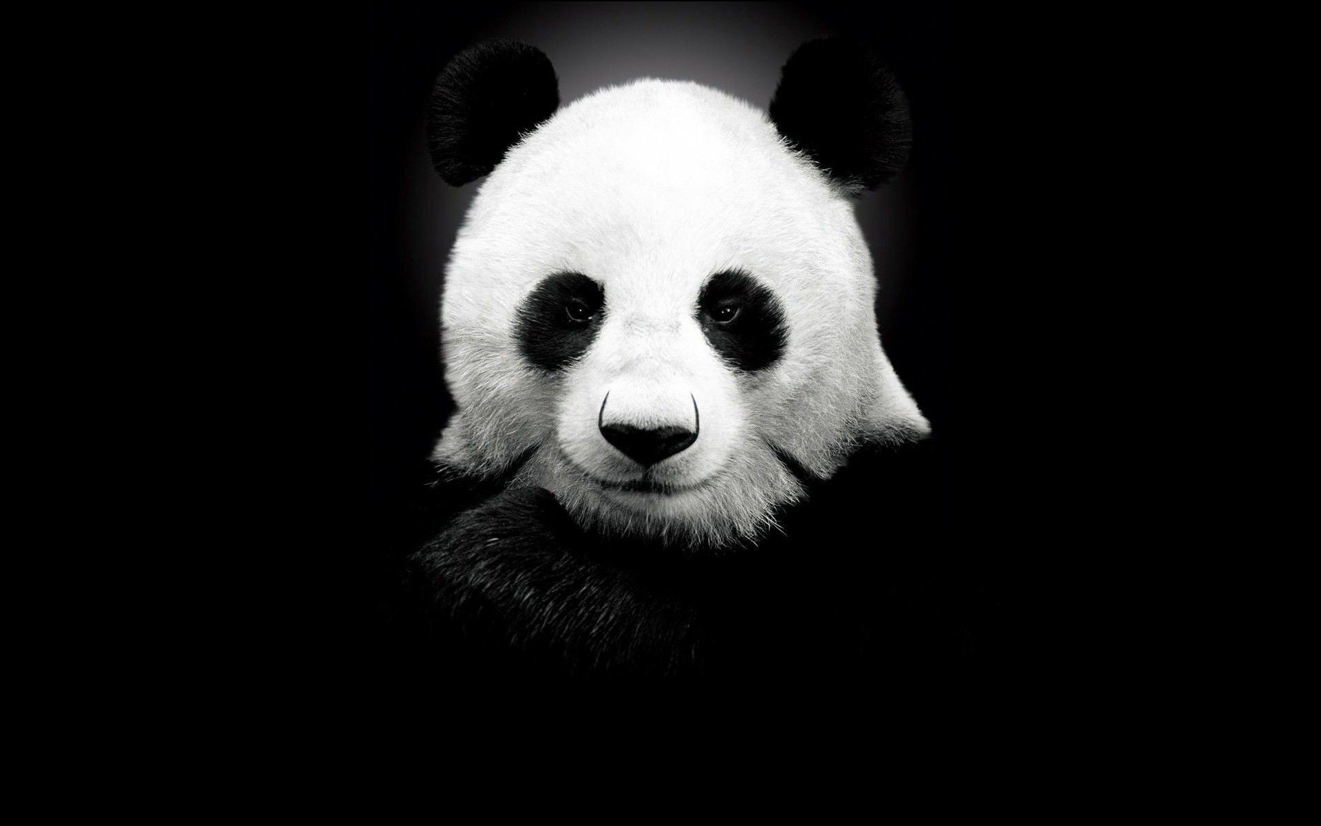 Panda Background Download Free Stunning Full Hd Wallpapers For