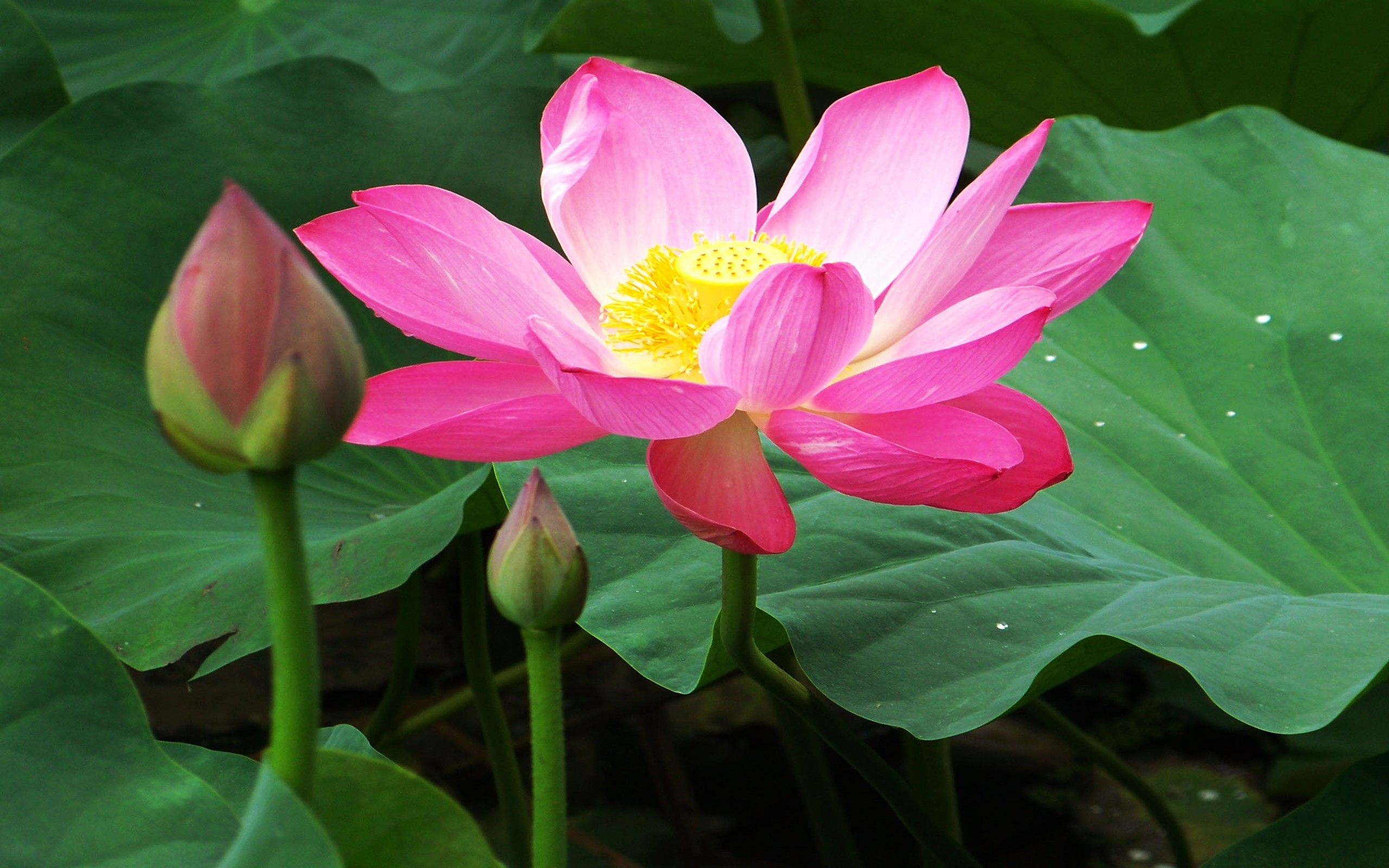 Lotus Flower Meaning Images Flower Wallpaper Hd