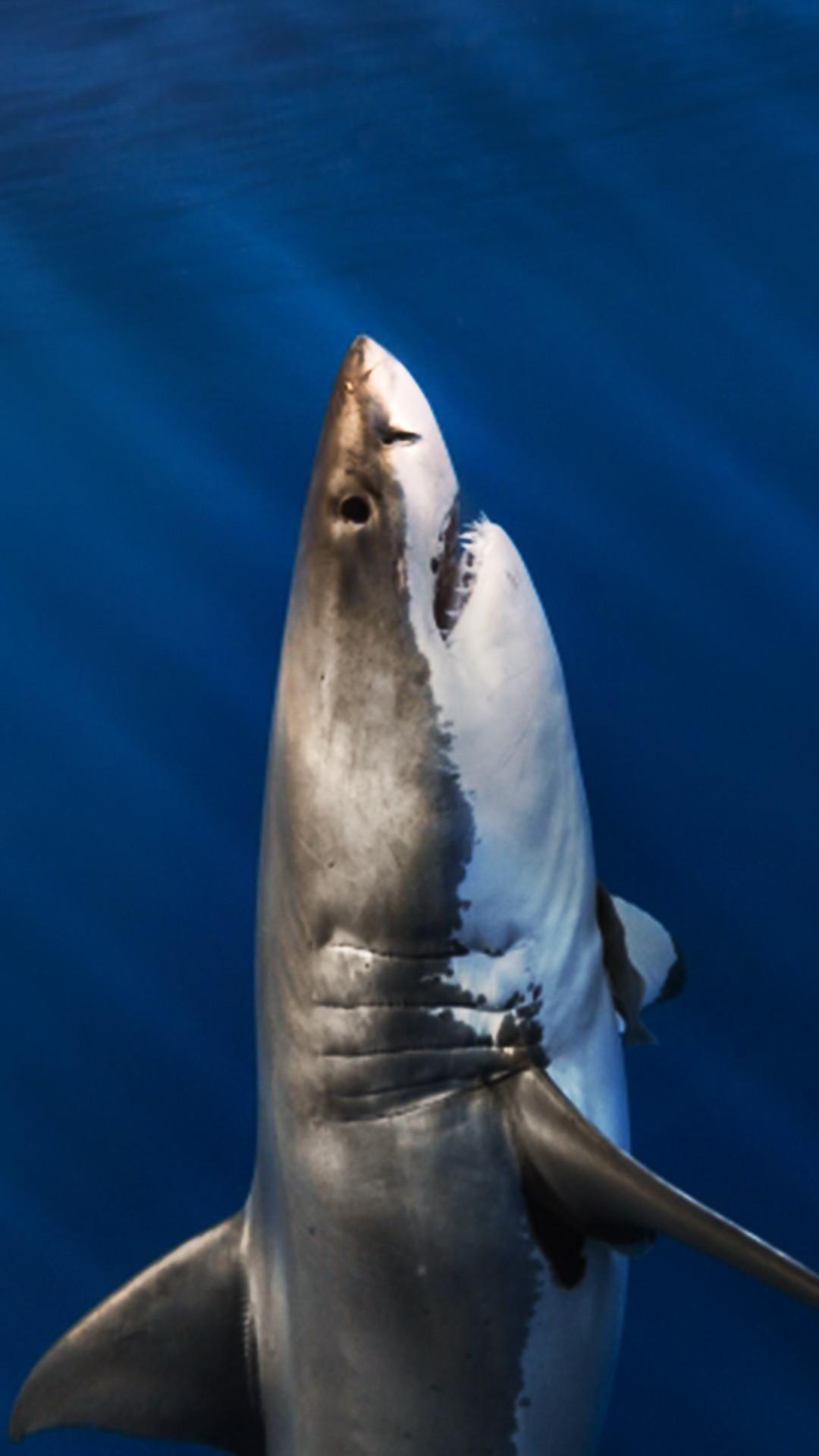 профессиональные обои на телефон акулы вертикальные передней стороны машинки