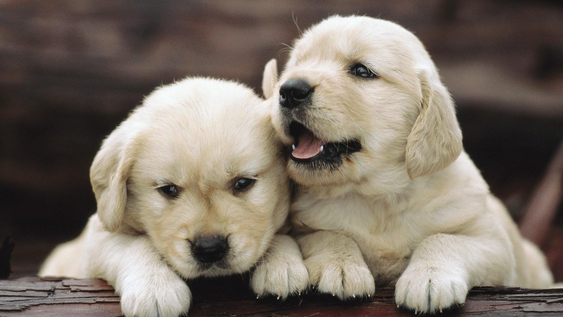 Puppy Wallpaper Desktop Wallpapertag