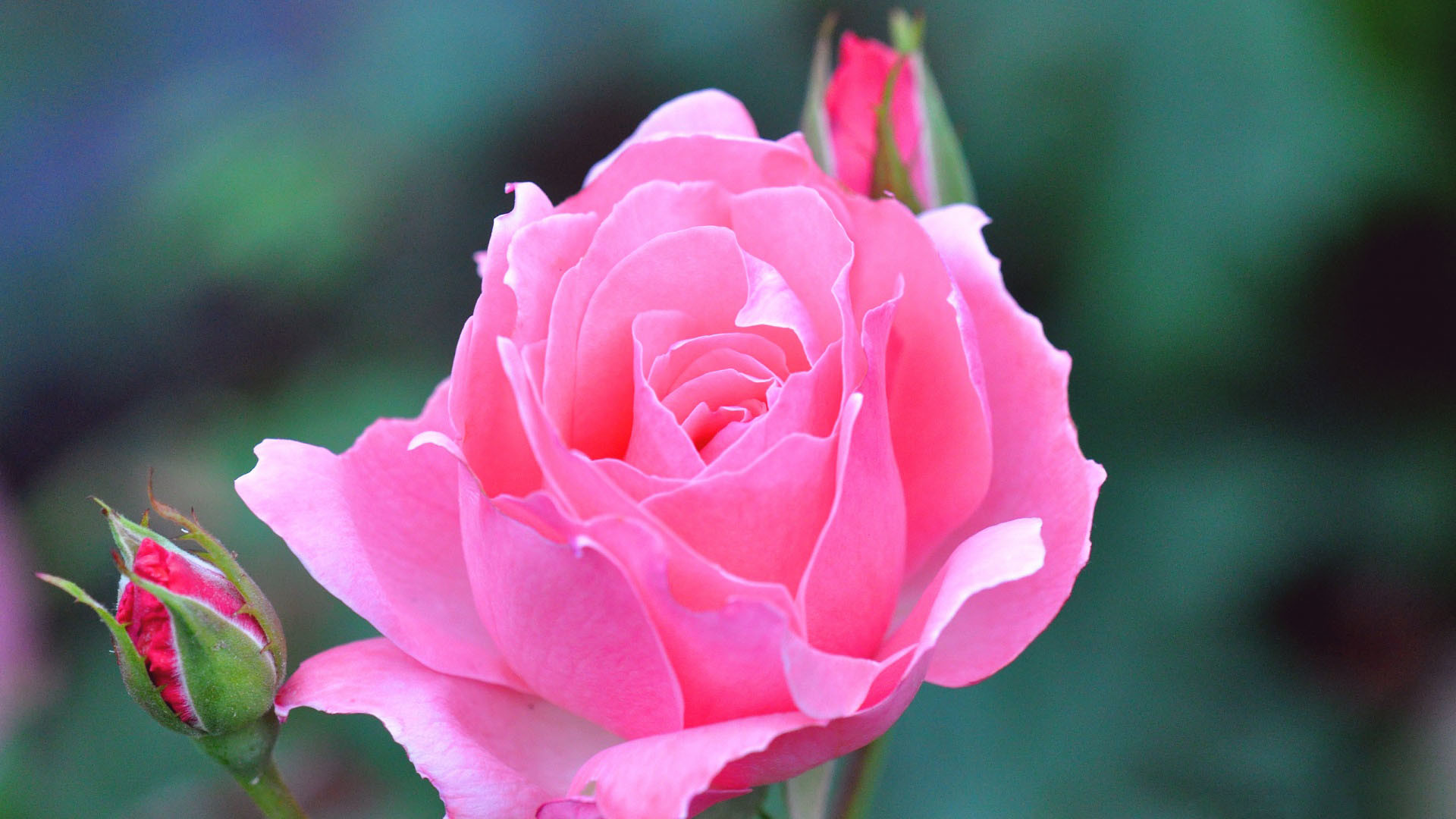 beautiful rose wallpapers ·①
