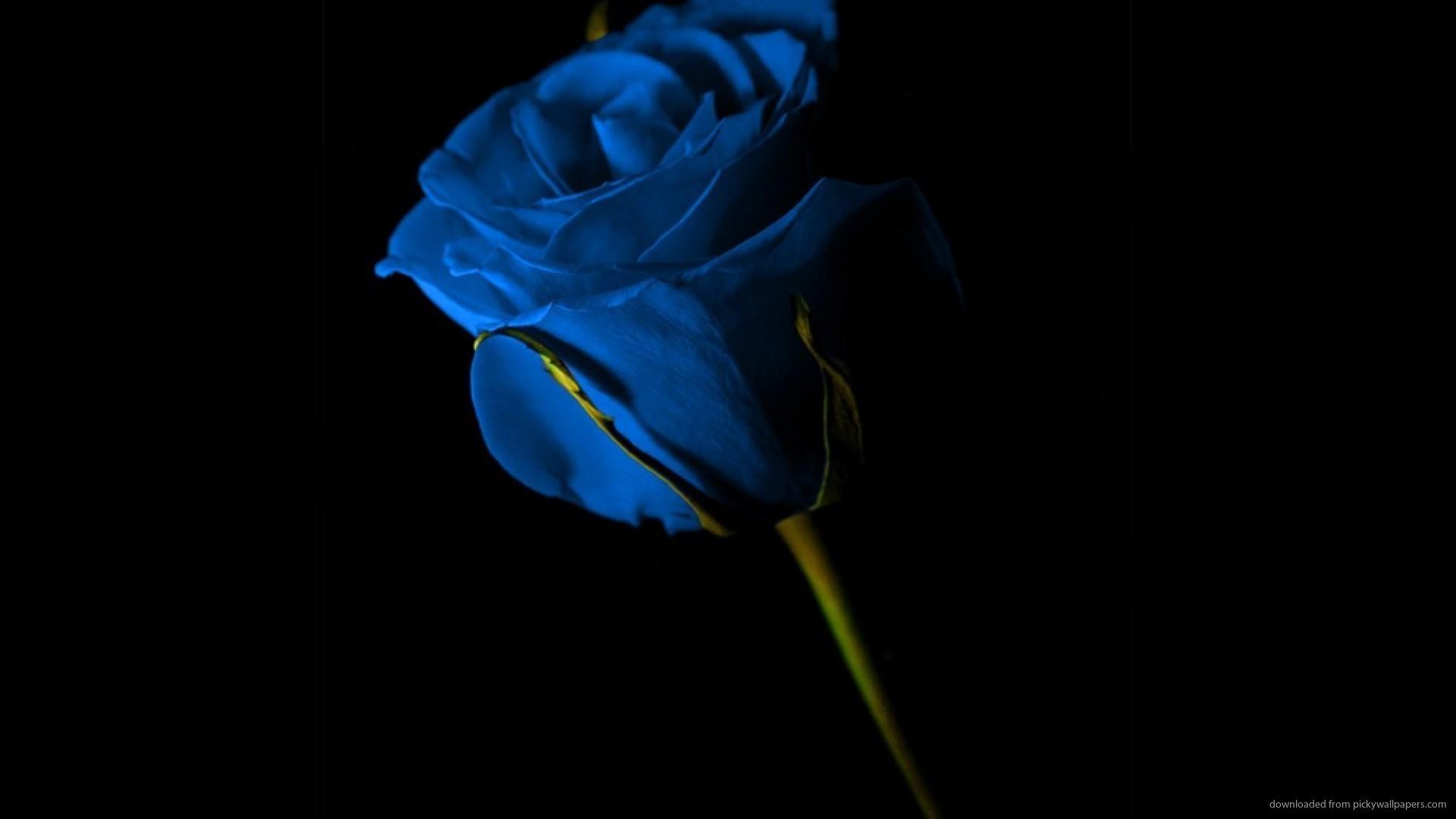 blue roses wallpaper 183��