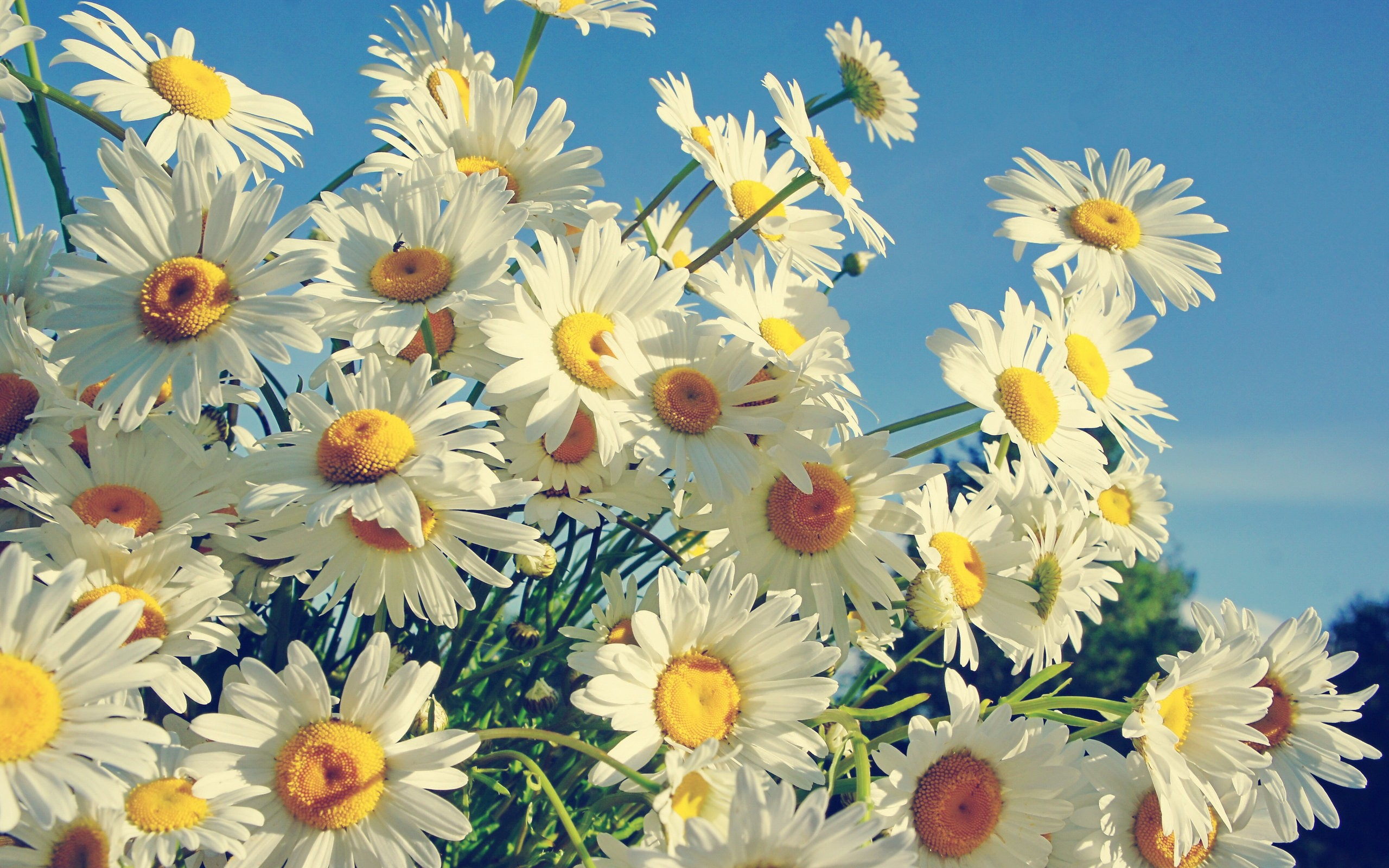 Daisy background ·① Download free cool High Resolution ...